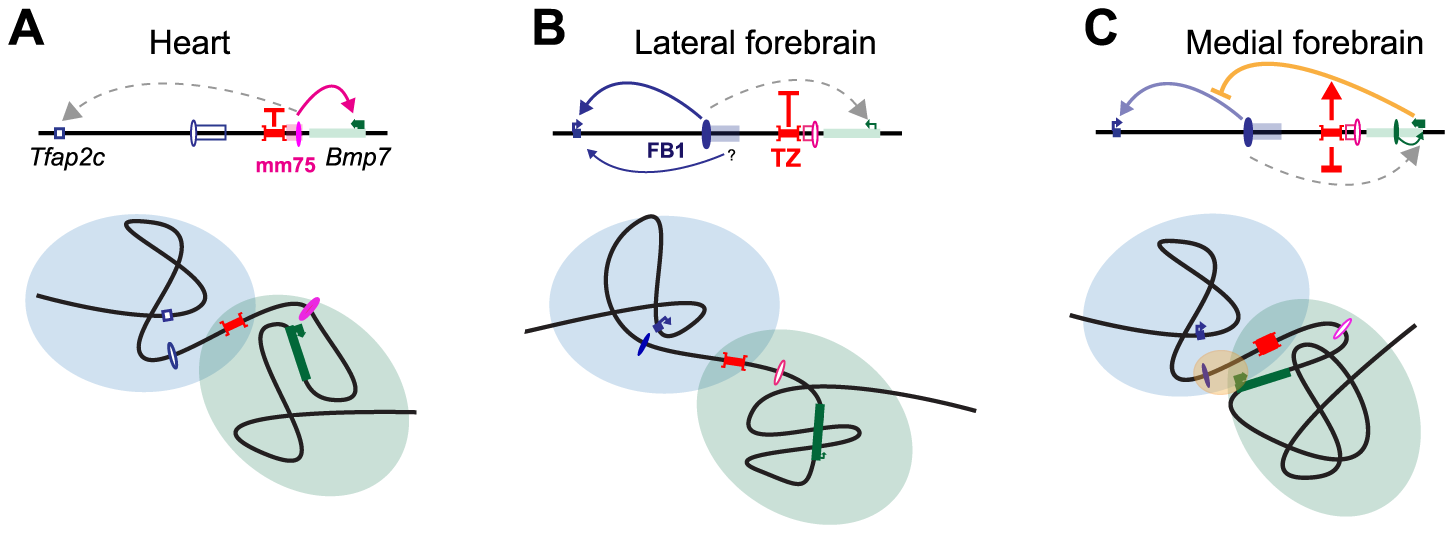 Structural partitioning controls enhancer-target gene allocation and modulates enhancers' effective activity on target genes.