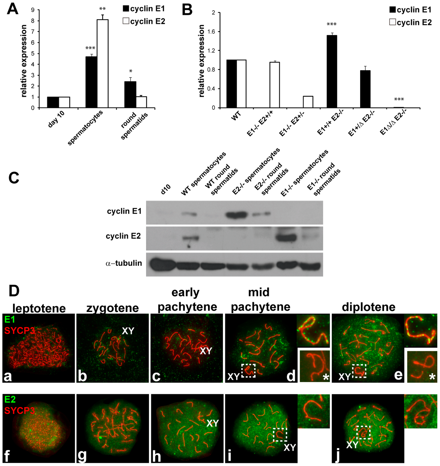 Cyclin E1 and E2 have differential mRNA and protein expression patterns during spermatogenesis.