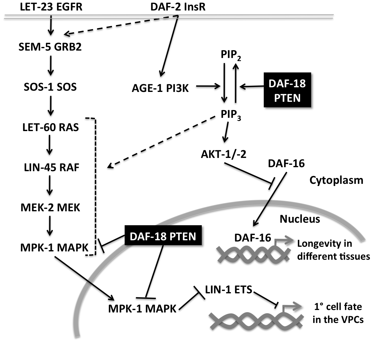 Multiple modes of crosstalk between the RAS/MAPK and insulin pathways during vulval development.