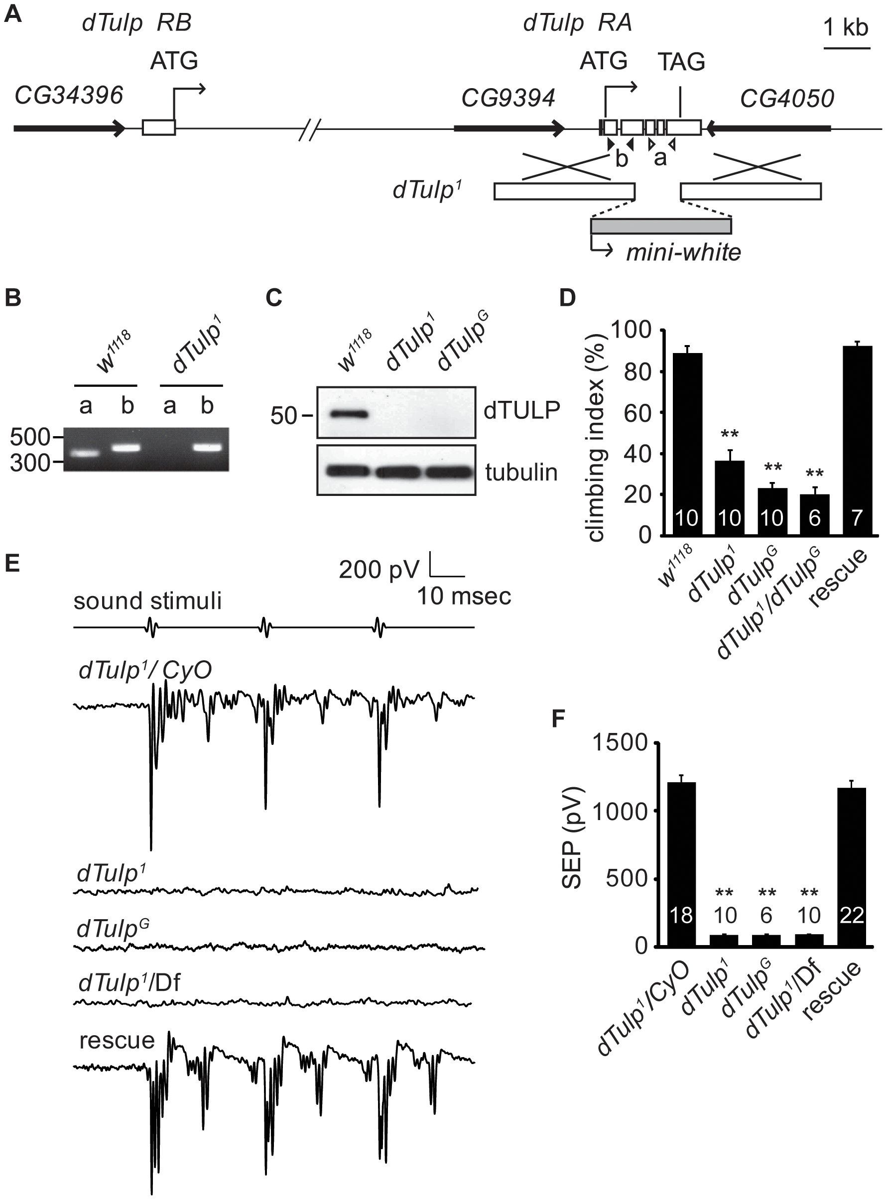 Hearing loss in the <i>dTulp</i> mutant.