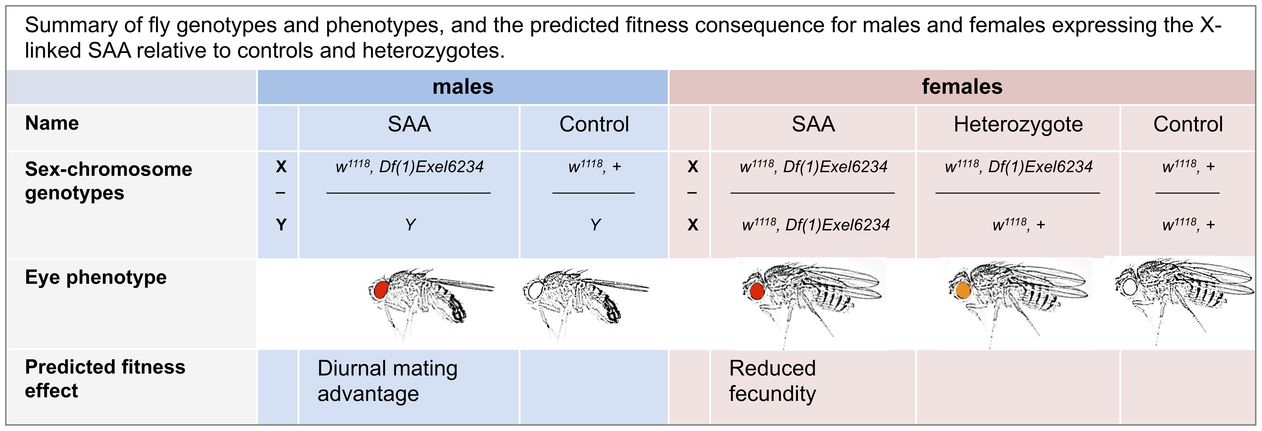 Summary of fly genotypes and phenotypes, and the predicted fitness consequence for males and females expressing the X-linked SAA (sexually antagonistic allele) relative to controls and heterozygotes.