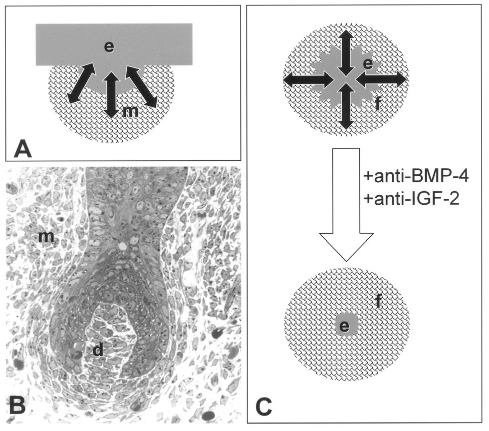 Srovnání vývoje vlasového folikulu (A, B) s s epitelomezenchymovou interakcí u nádoru (C). Při vzniku vlasového folikulu, zubního základu a žláz dochází ke ztluštění epitelu (e) do podoby pupene, který je obklopen kondenzovaným mezenchymem (m). Na základě výměny růstových faktorů a dalších cytokinů/chemokinů (šipky) je závislý další vývoj tohoto základu. U pokročilejší fáze vývoje vlasového folikulu (myš 14,5 dne prenatálního vývoje) je stále patrná kondenzace buněk mezenchymu (m), z něhož se postupně vyvíjí dermální papila (d), která se podílí na regulaci vlasového cyklu (anagen-katagen) v dospělosti. Komunikace (šipky) mezi nádorovým epitelem (e) a okolními fibroblasty (f) podobná situaci za vývoje má nezastupitelnou roli v progresi nádoru. Ovlivnění vzájemného působení nádoru a jeho stromálních fibroblastů může mít významný prodiferenciační efekt a může být v budoucnu využito terapeuticky (31).