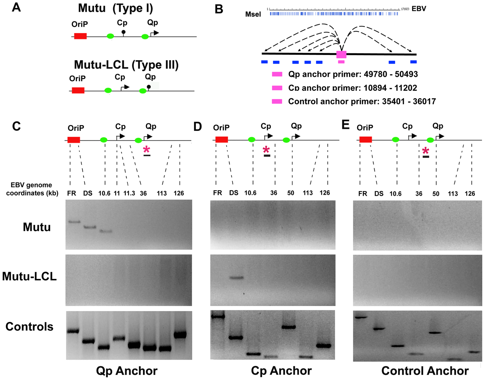 OriP region forms alternative chromatin loops in type I and type III latency types.
