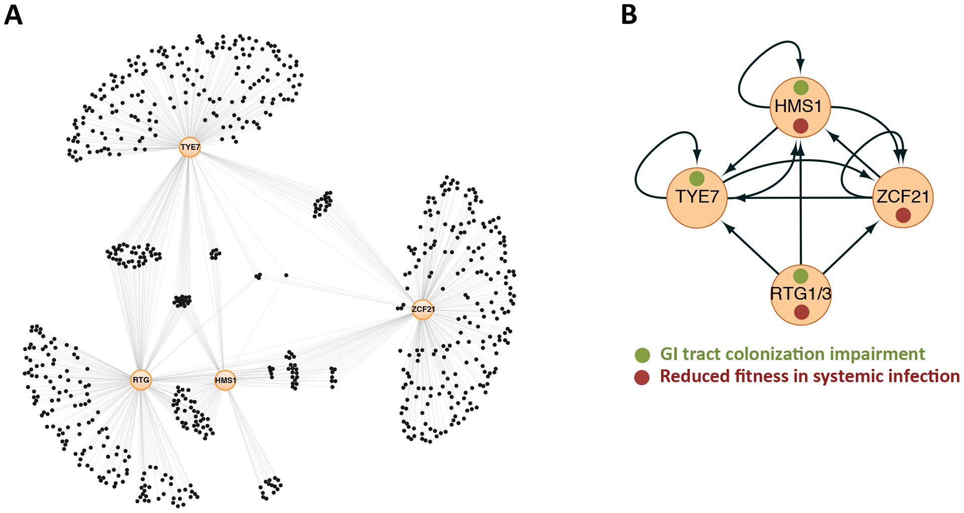 Gene regulatory network directing <i>C. albicans</i> proliferation in a mammalian host.