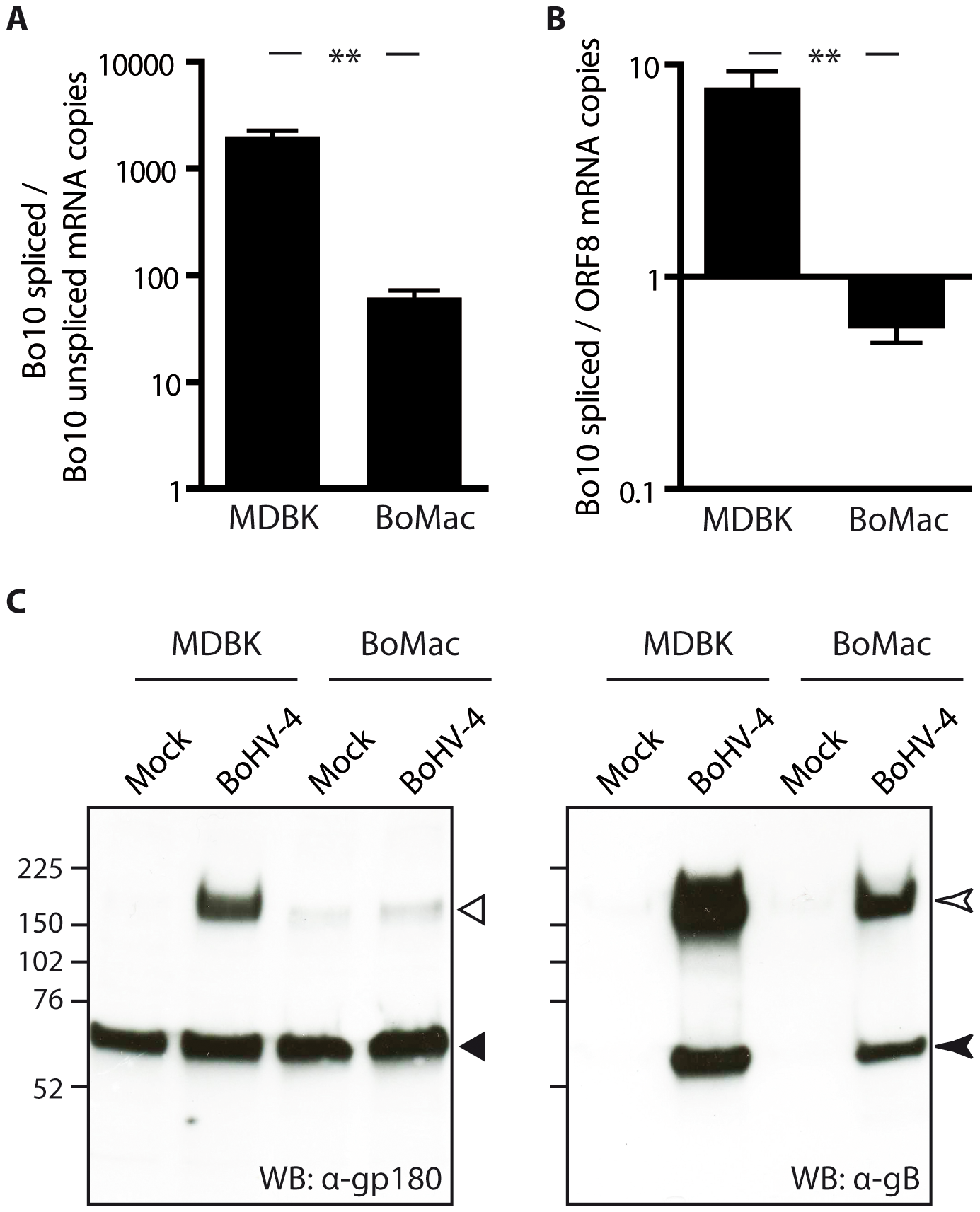 BoMac myeloid cells express relatively less gp180 glycoprotein in comparison with epithelial cells.