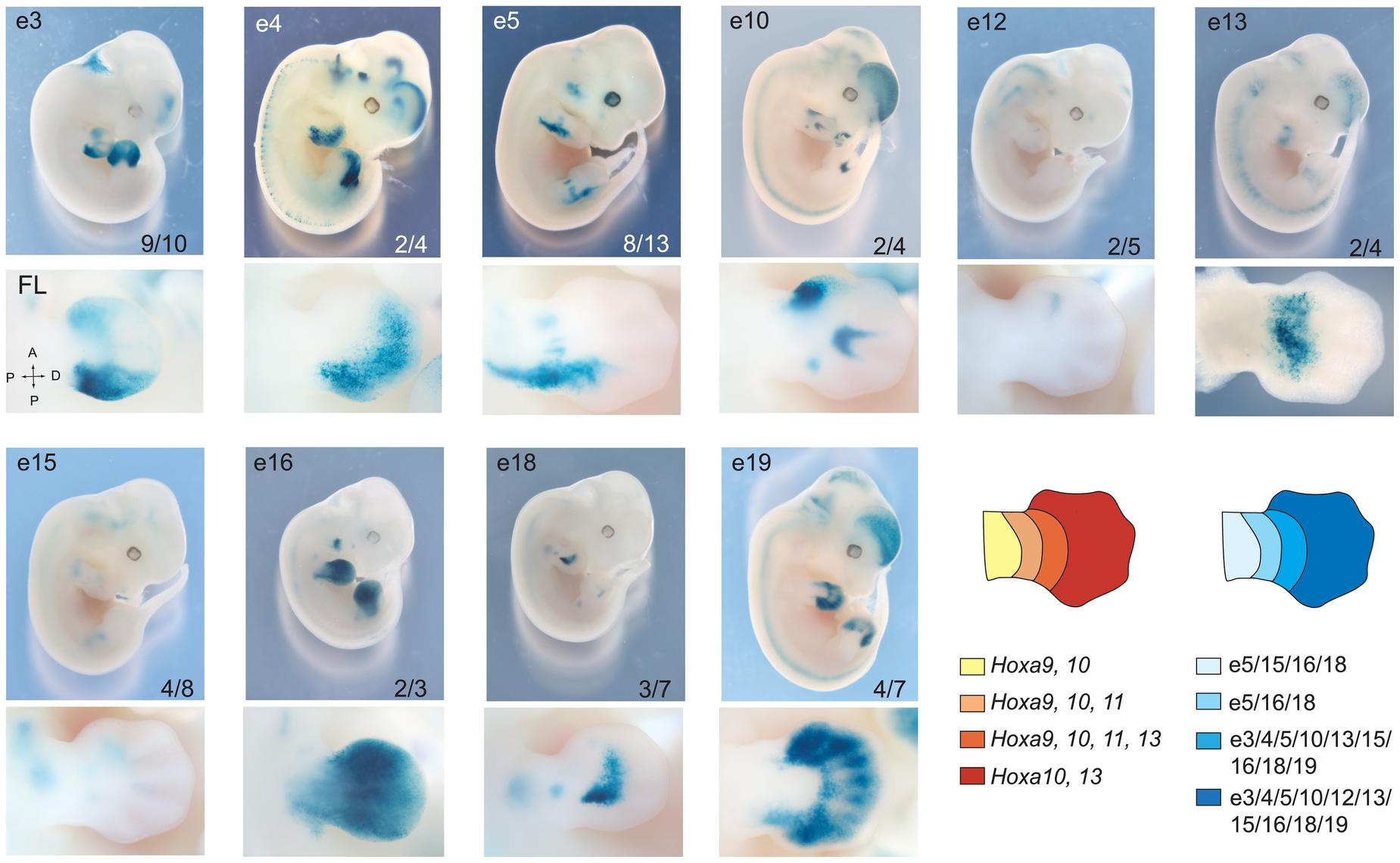 Overlapping domain-specific enhancer activity regulates 5′ <i>HoxA</i> genes in distal limbs.