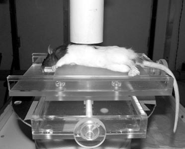 Fig. 4: Asleep rat placed on a movable acrylic bed under SBS.