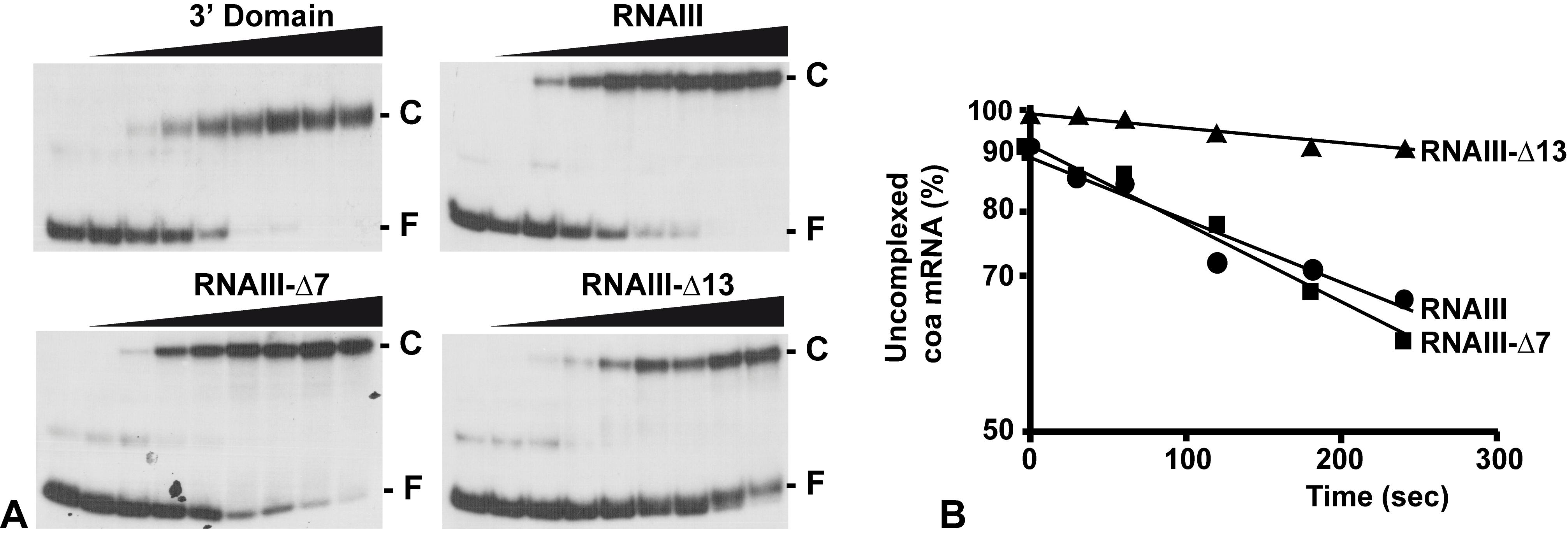 RNAIII binds efficiently to <i>coa</i> mRNA <i>in vitro</i>.