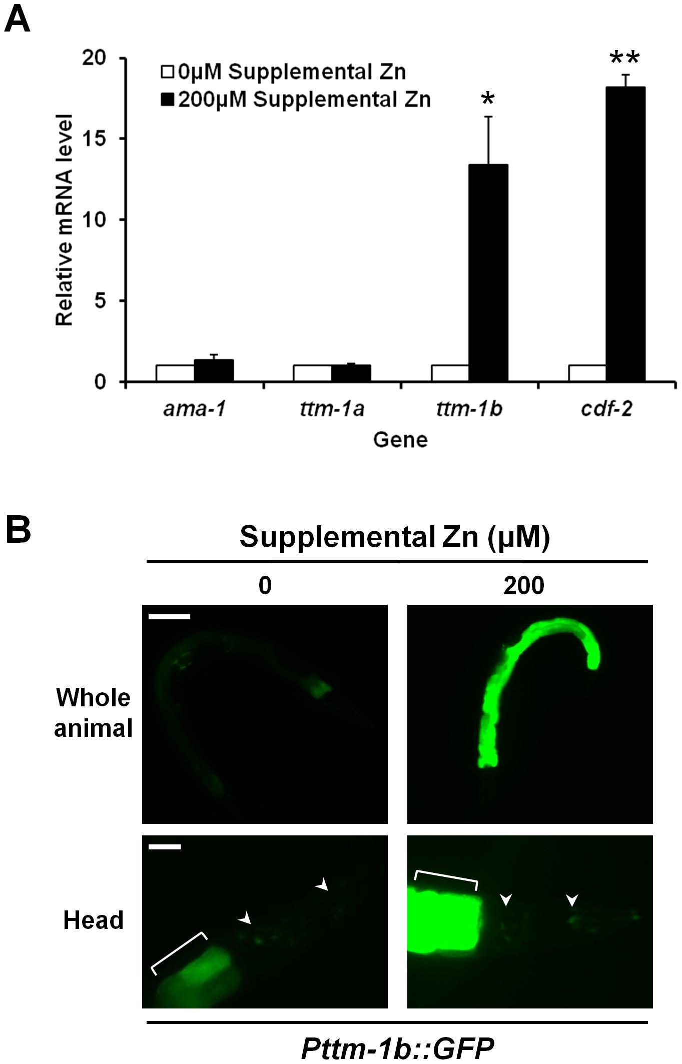 Regulation of <i>ttm-1</i> expression by zinc.