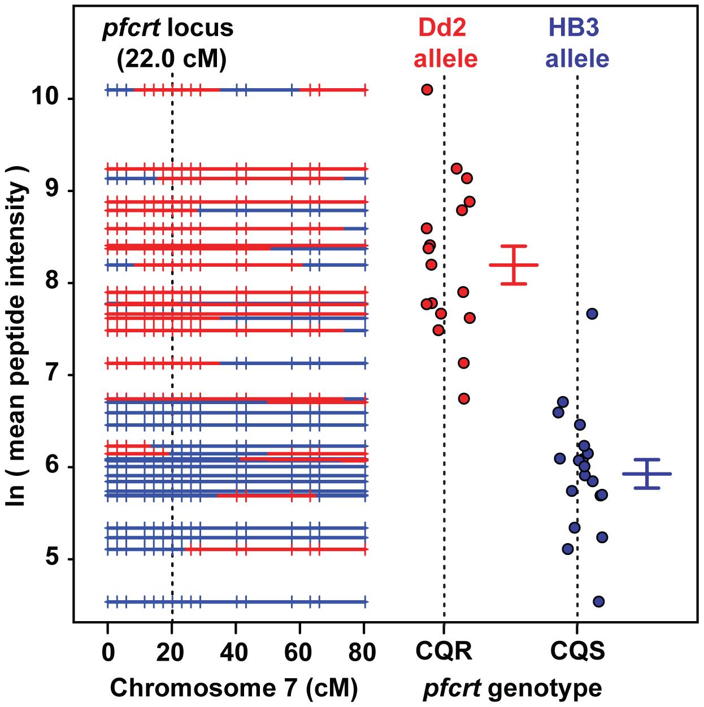 Peptide accumulation co-segregates with the <i>pfcrt</i> locus on Chromosome 7.
