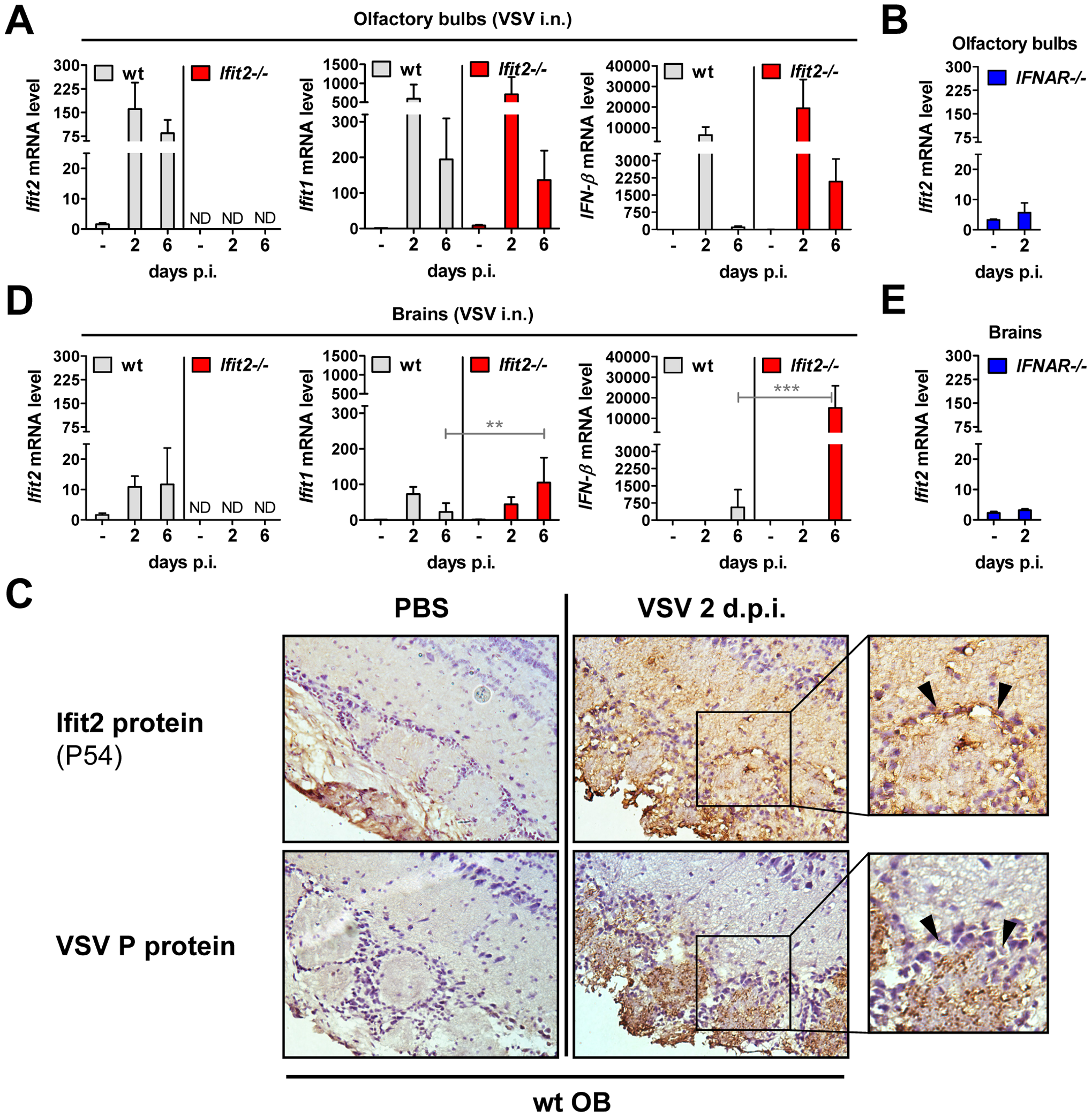 <i>Ifit2</i> and <i>Ifit1</i> are induced in VSV-infected regions of OB and brain.