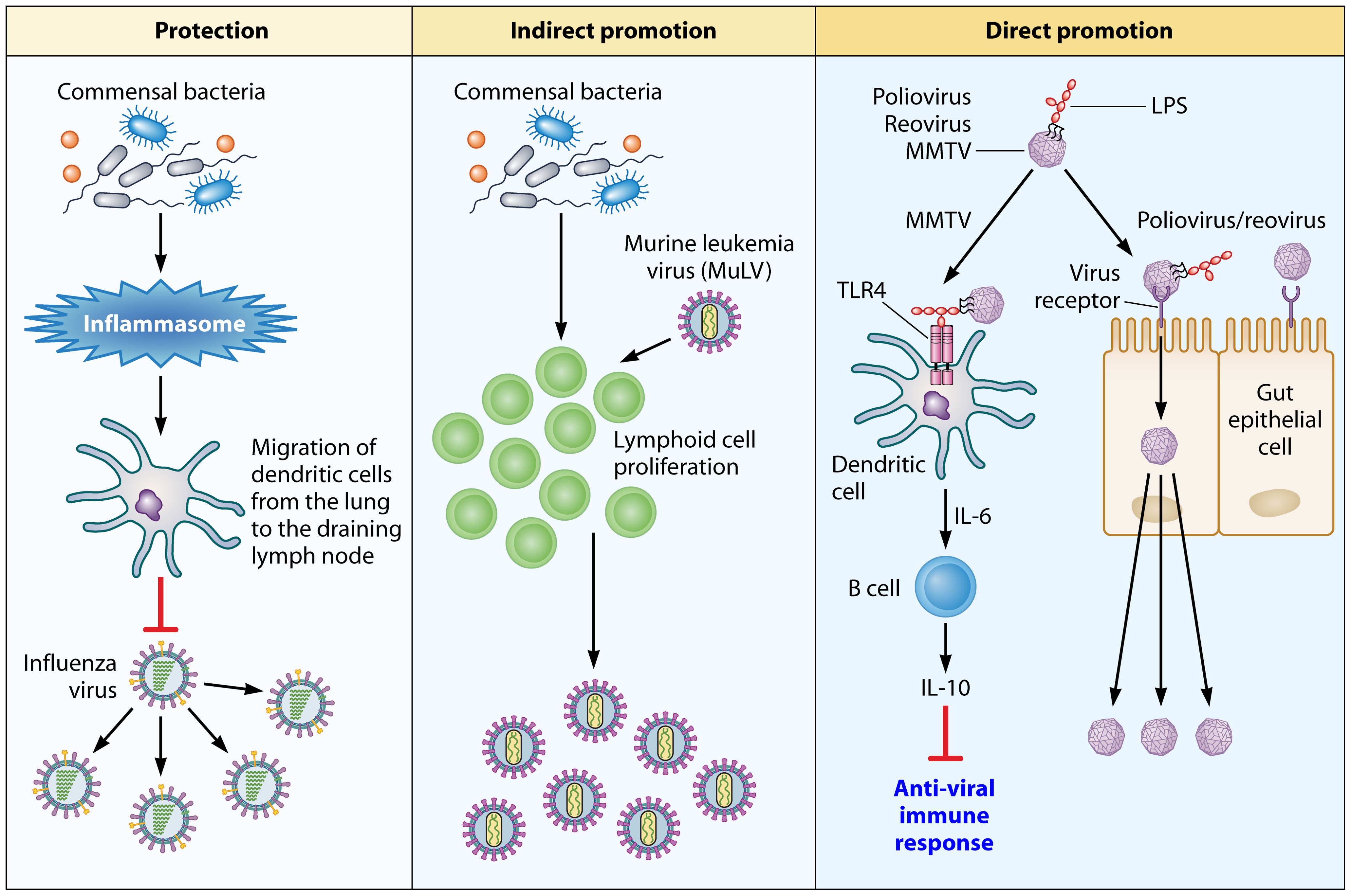 An overview of how the commensal microbiota influence viral pathogenesis.