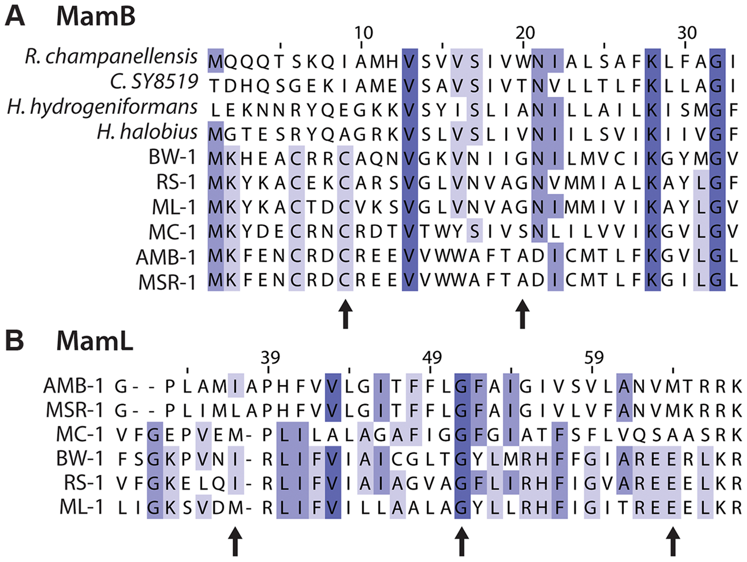 Details of multiple sequence alignments of magnetosome proteins.