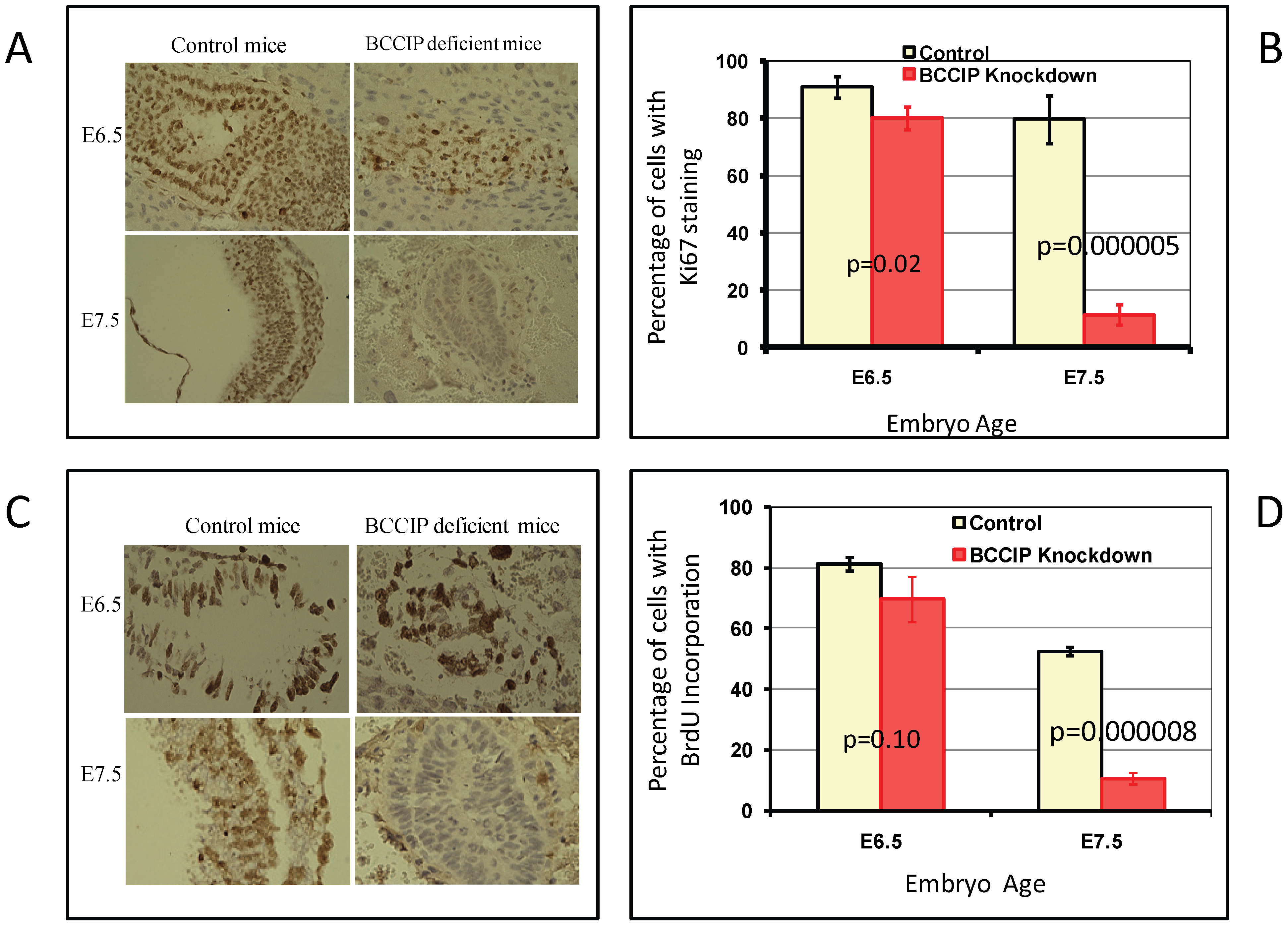 Proliferation defects in BCCIP deficient embryos.