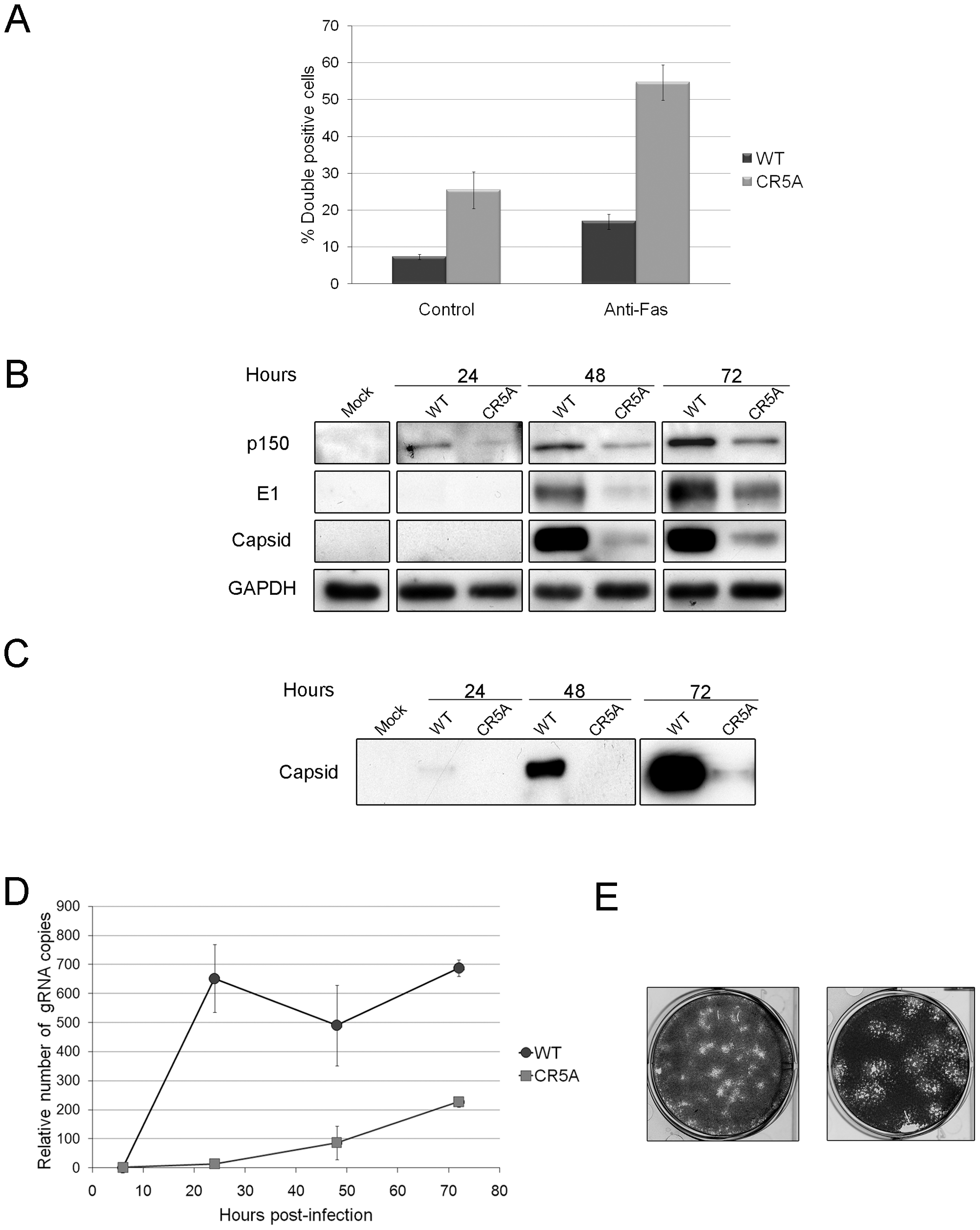 The carboxyl-terminal R motif in capsid protein is required to block apoptosis during RV infection.