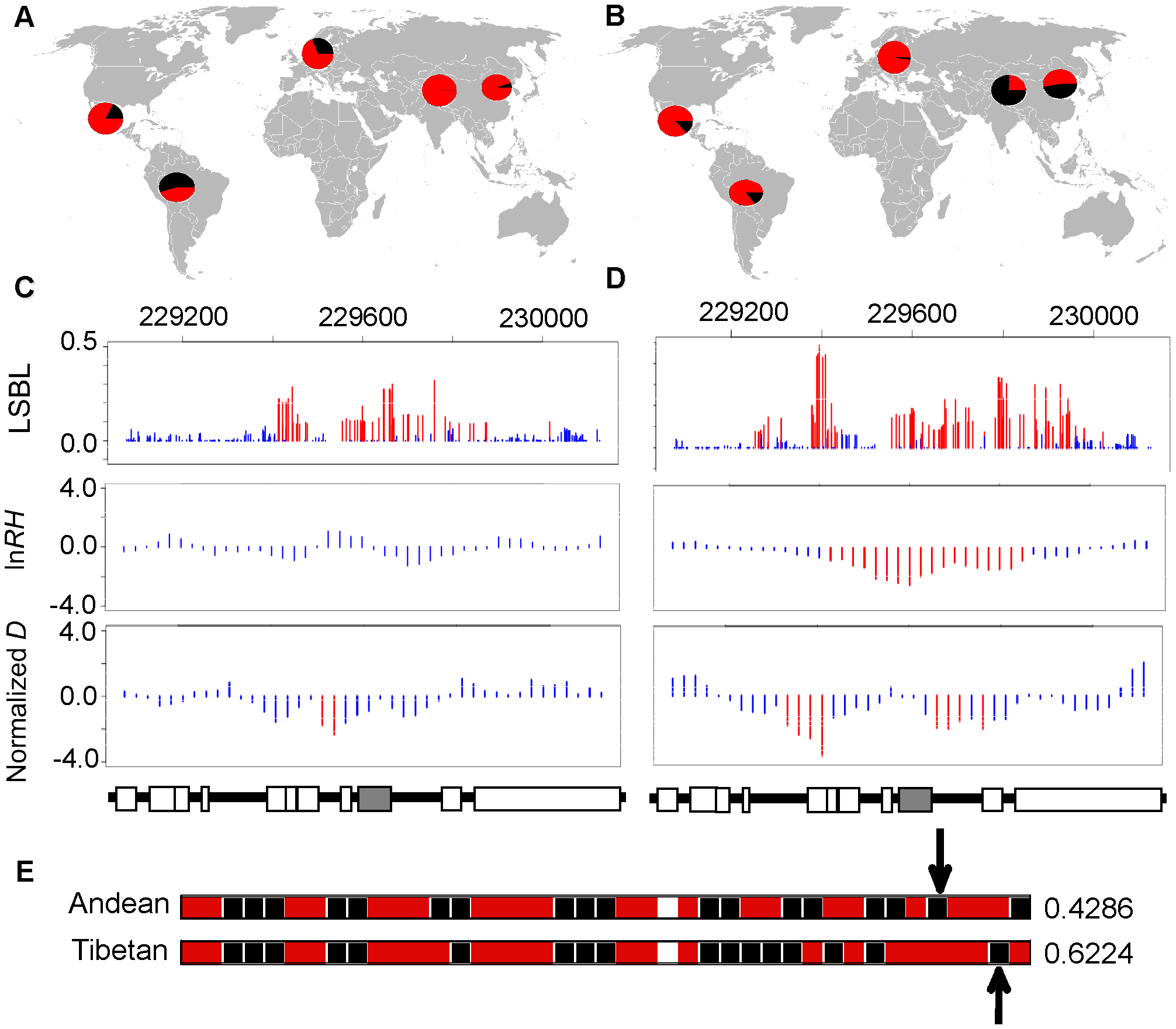 Genetic variation at <i>EGLN1</i>.