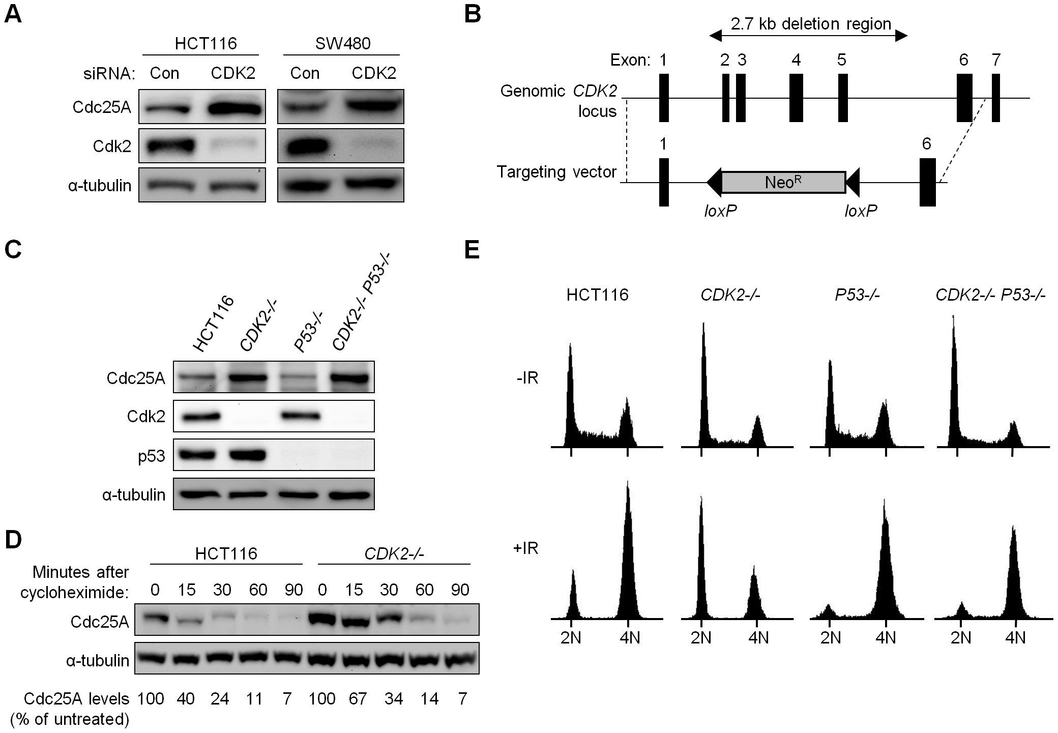 Altered cell cycle regulation and increased Cdc25A protein in Cdk2-deficient human cancer cells.