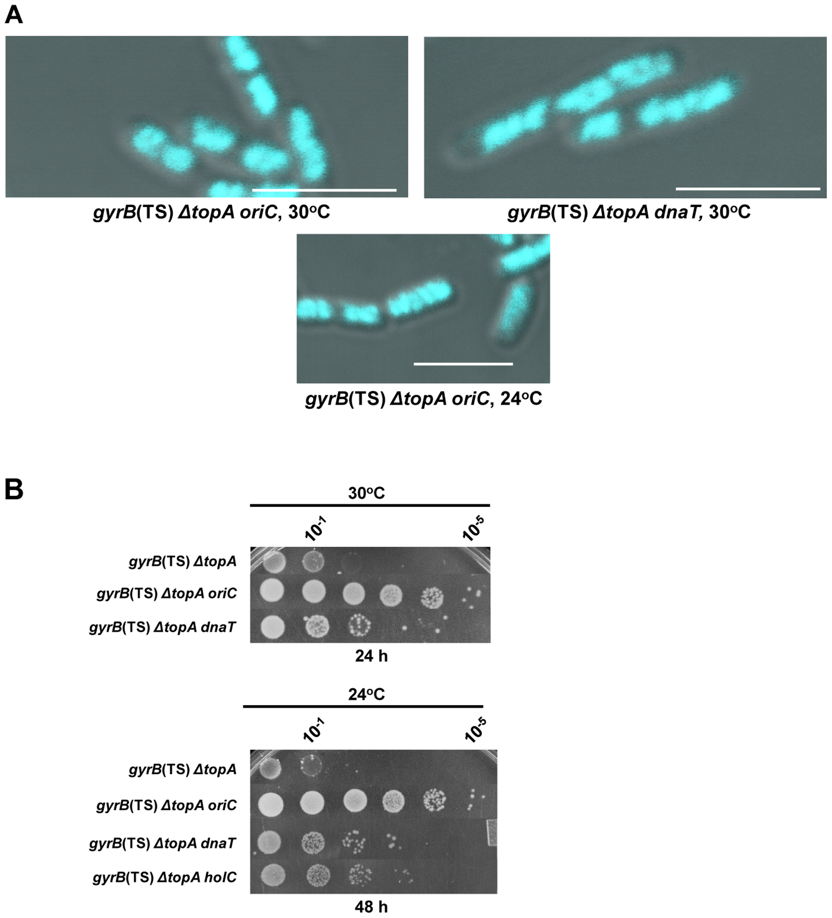 Effects of mutations affecting DNA replication on the growth and chromosome segregation defects in the <i>gyrB</i>(Ts) <i>ΔtopA</i> strain.
