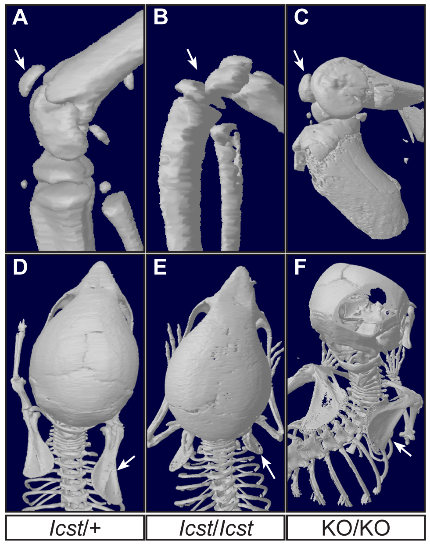 Patella and scapula phenotype of transgenic rescue mice.