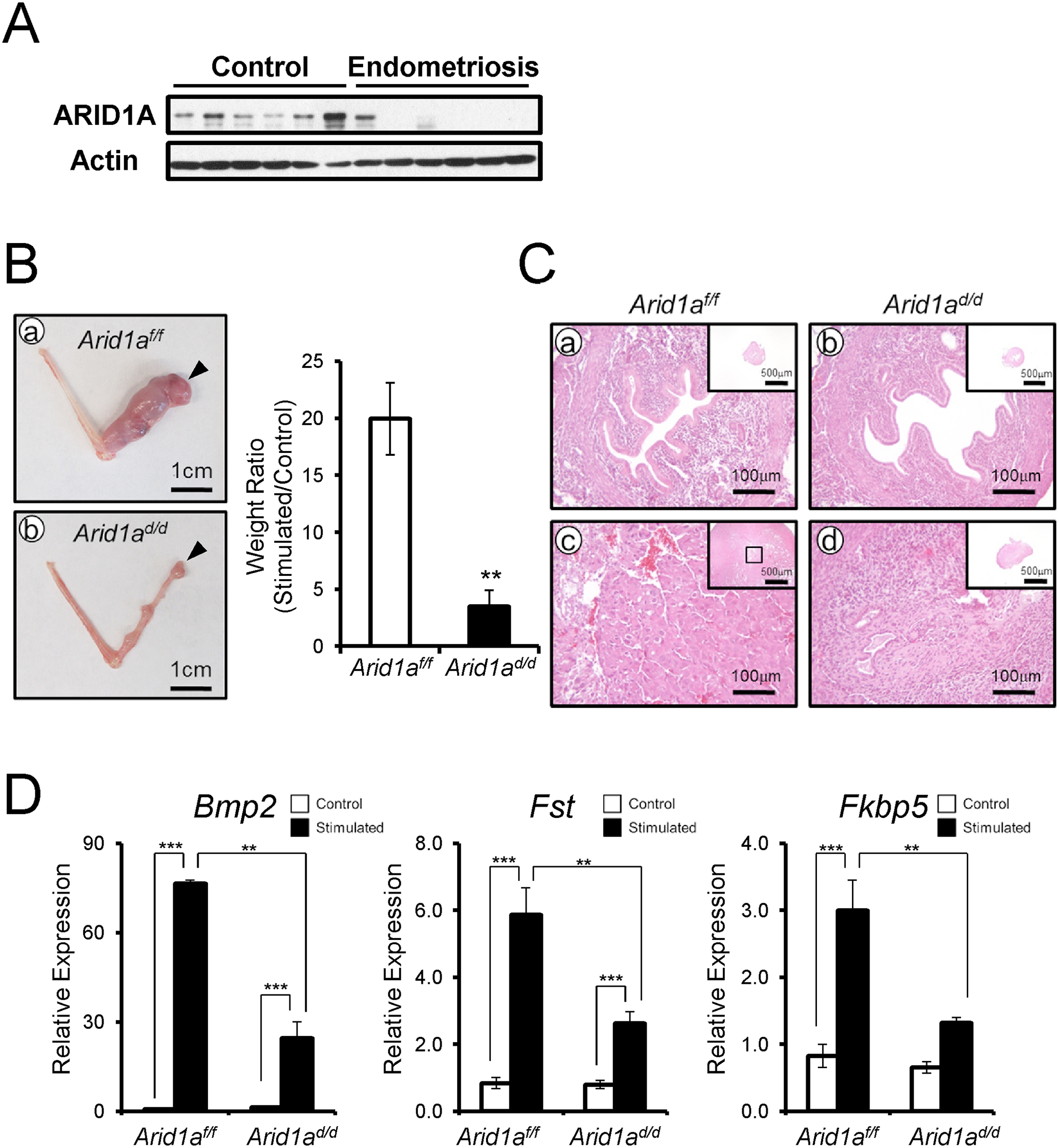 <i>Arid1a</i><sup><i>d/d</i></sup> mice exhibited an altered decidualization.