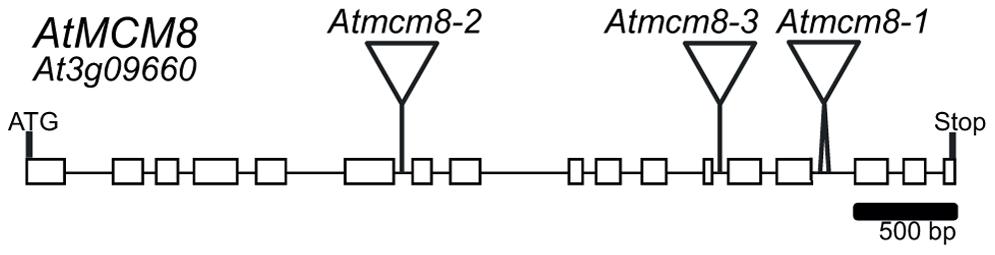 <i>AtMCM8</i> gene structure.