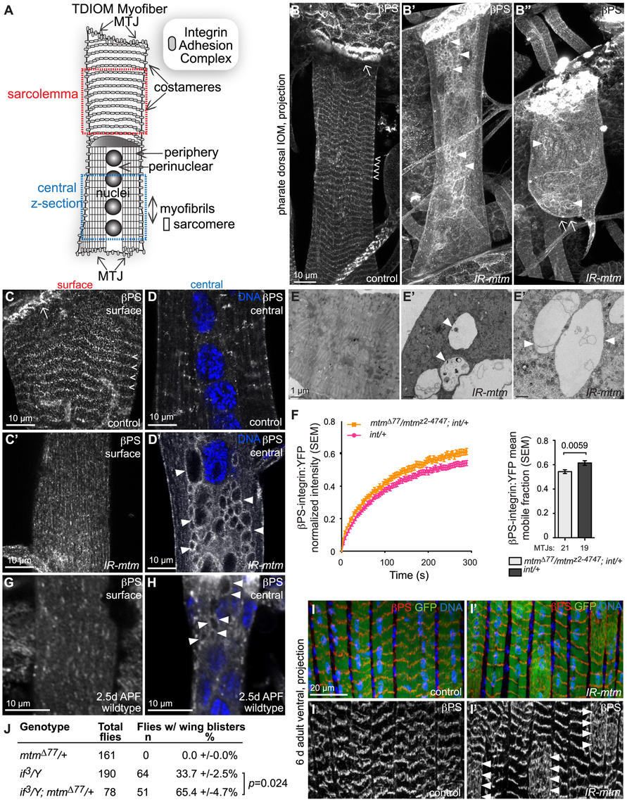 Mtm is required for βPS-integrin flux from intracellular compartments and localization at sarcolemmal adhesions.
