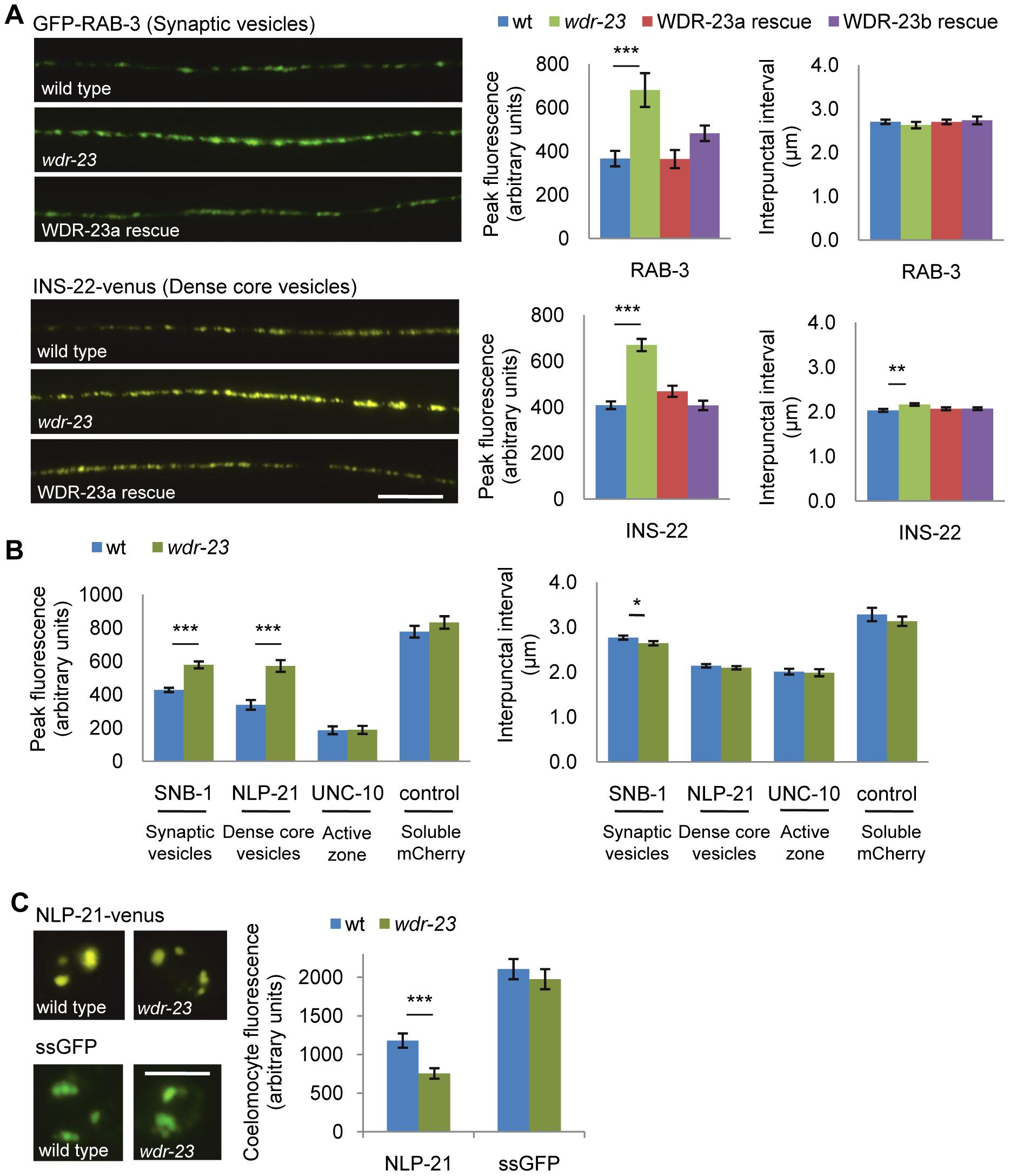 Synaptic vesicle and dense core vesicle secretion defects of <i>wdr-23</i> mutants.