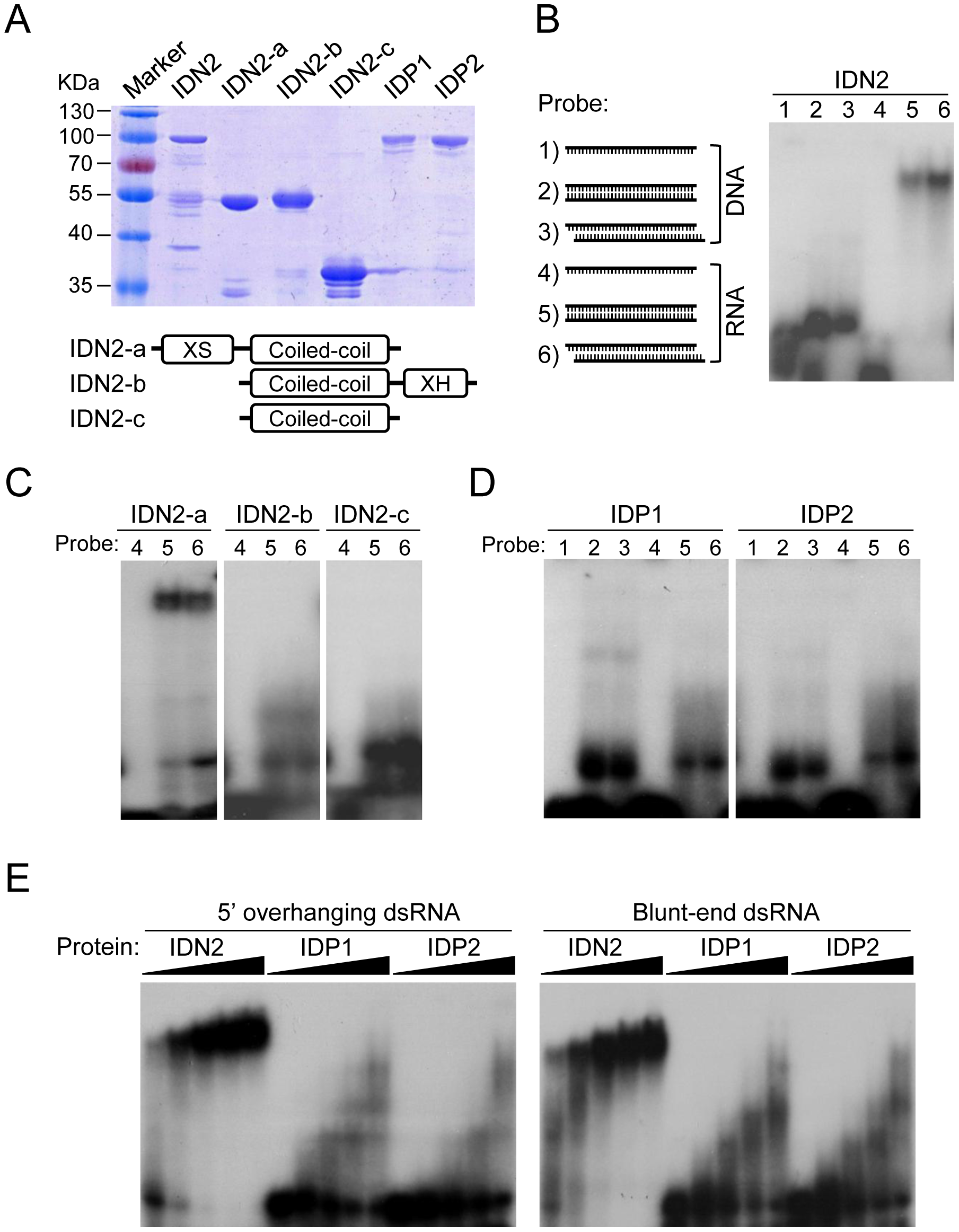 IDN2, but not IDP1 or IDP2, binds double-stranded RNA.