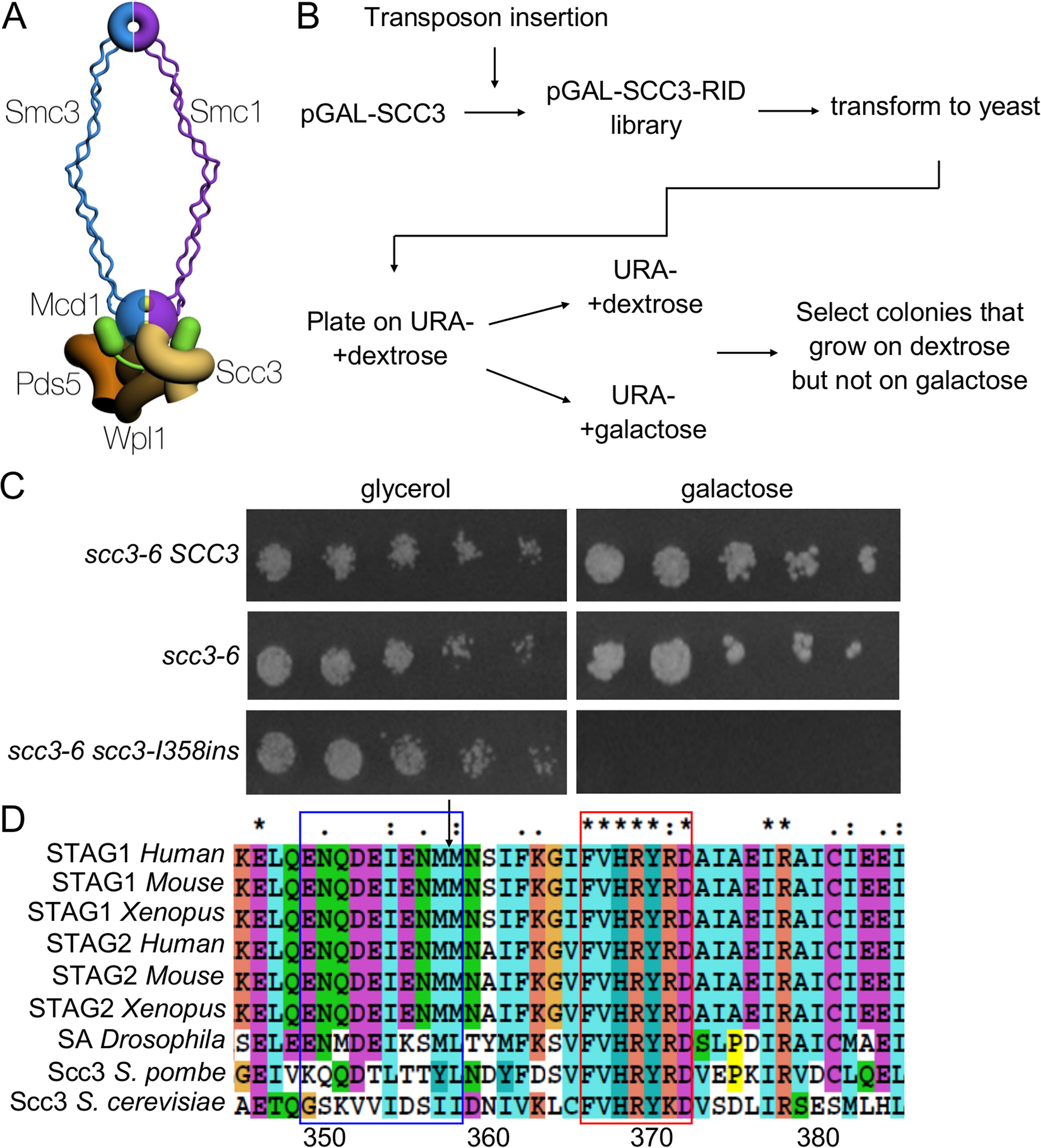 Identification of a functional domain in Scc3.