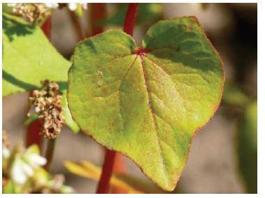 Polygonaceae (Fagopyrum esculentum)