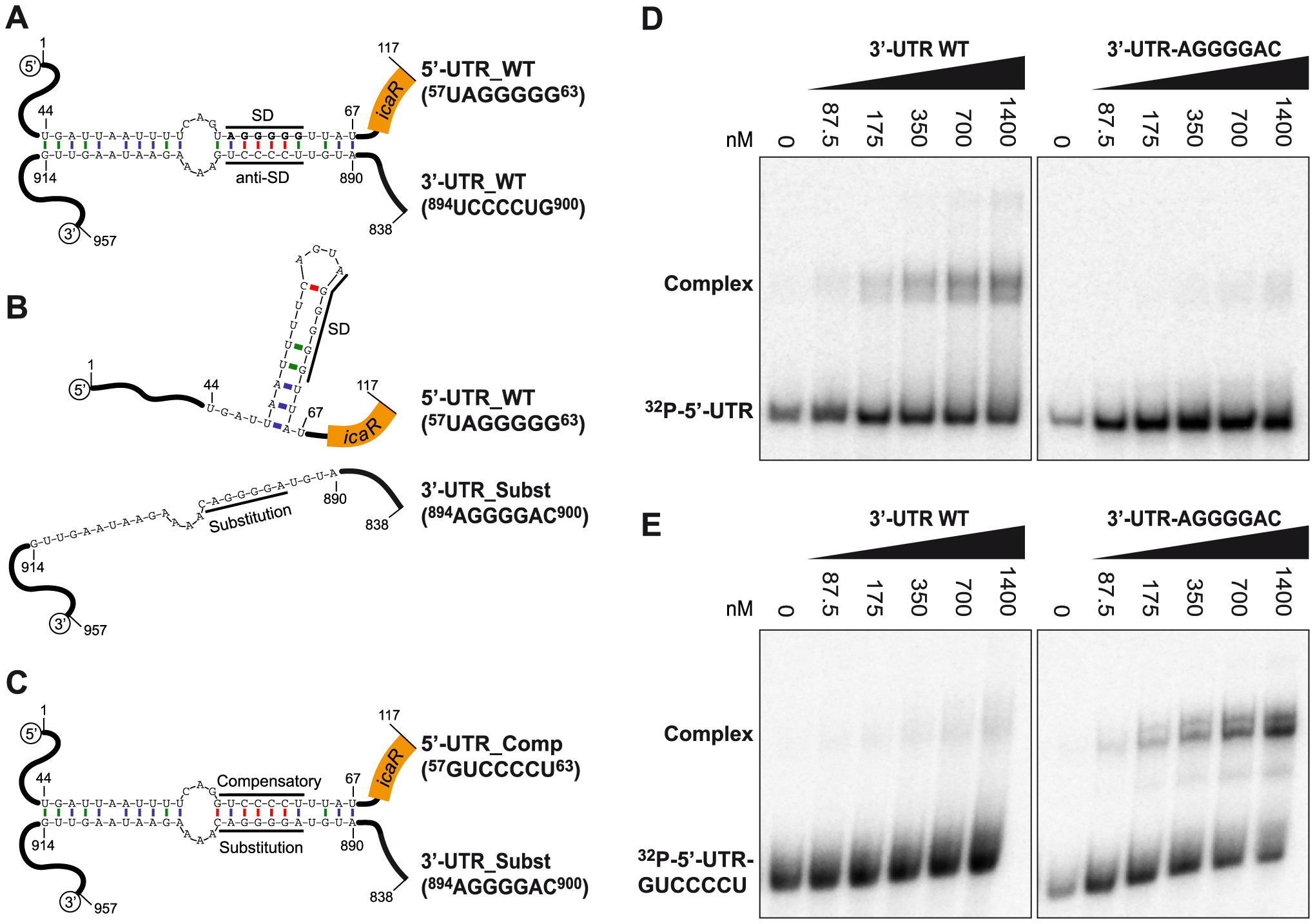 A UCCCCUG motif is necessary for the interaction between the 3′-UTR and the Shine-Dalgarno region of <i>icaR</i> mRNA <i>in vitro</i>.