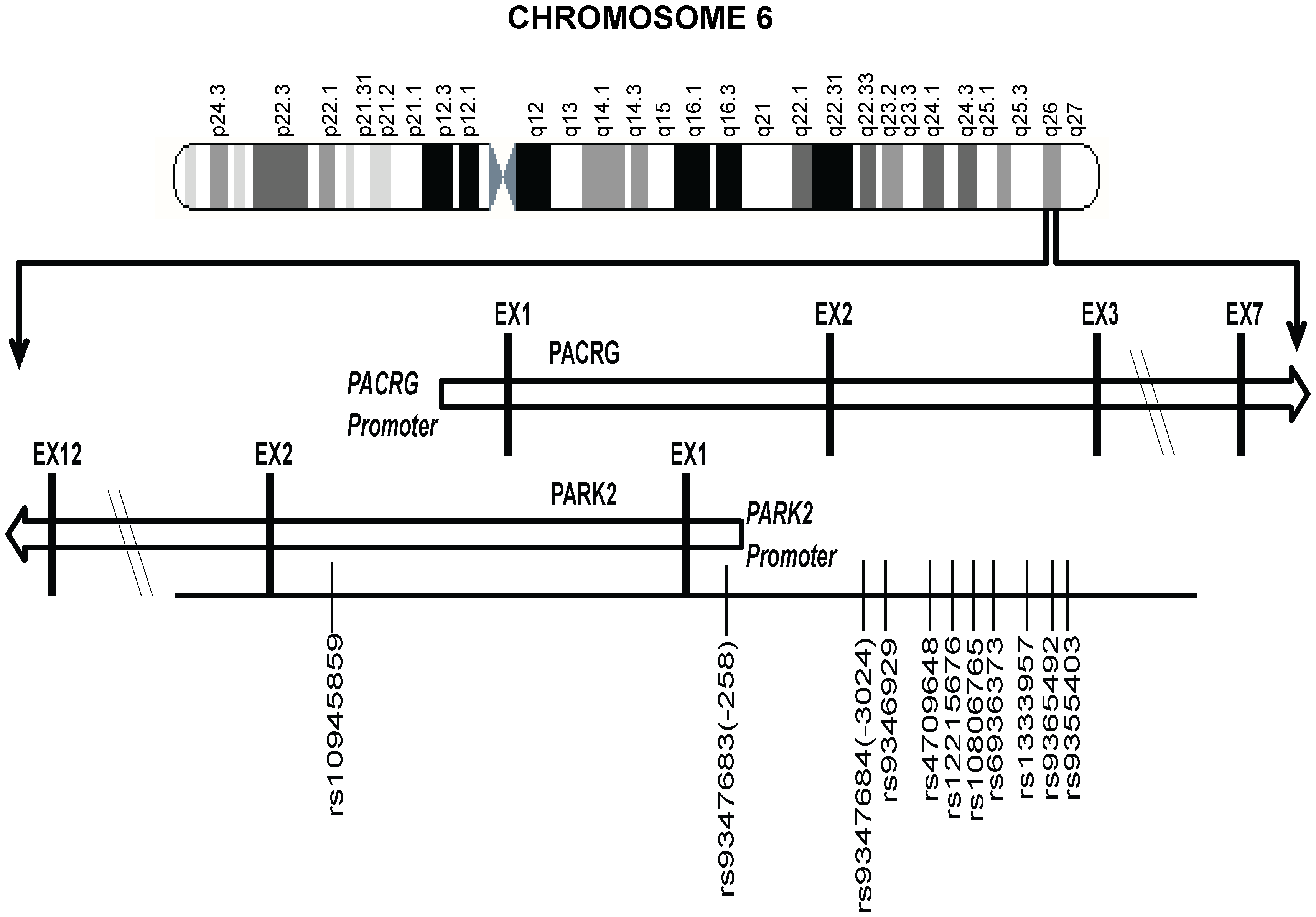 A partial map of Chromosome-6q26 expanded to show the position and distribution of 11 significant SNPs (shown with rs numbers) in the regulatory region of the PARK2 and PACRG genes.