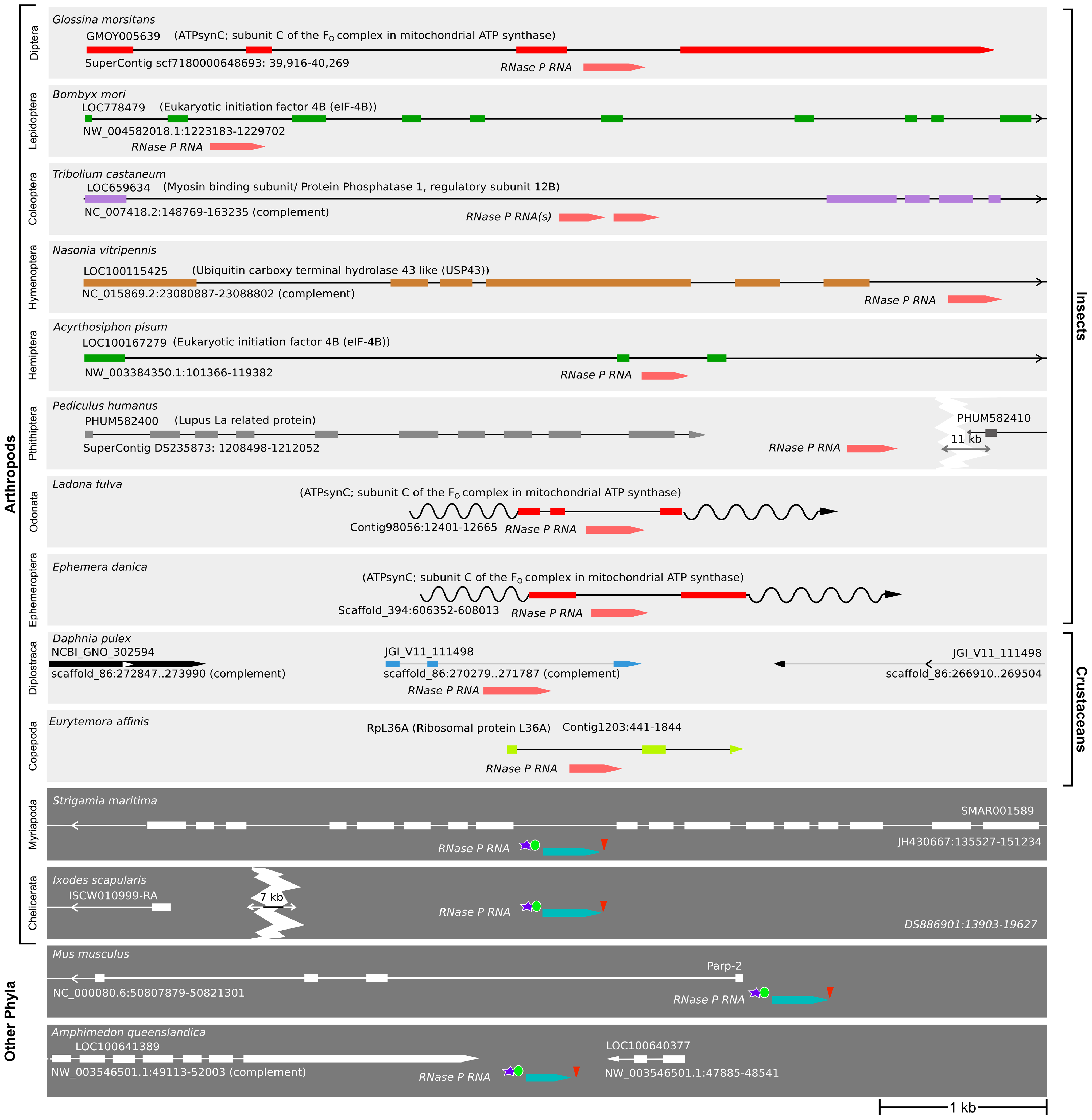 Insects and crustaceans have <i>RPR</i> genes embedded in <i>pol II</i> recipient genes, while other animals have independent <i>pol III</i> genes.