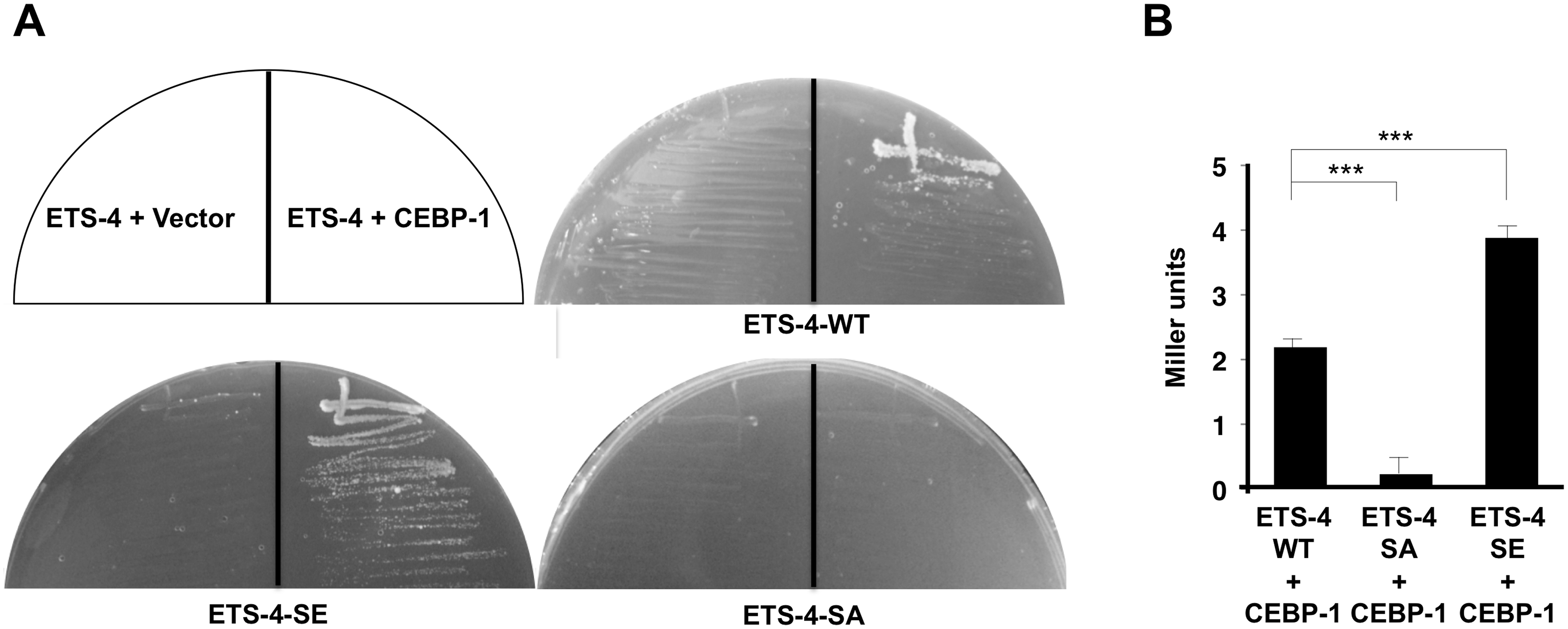 Interaction of ETS-4 with CEBP-1 by yeast two-hybrid assays.