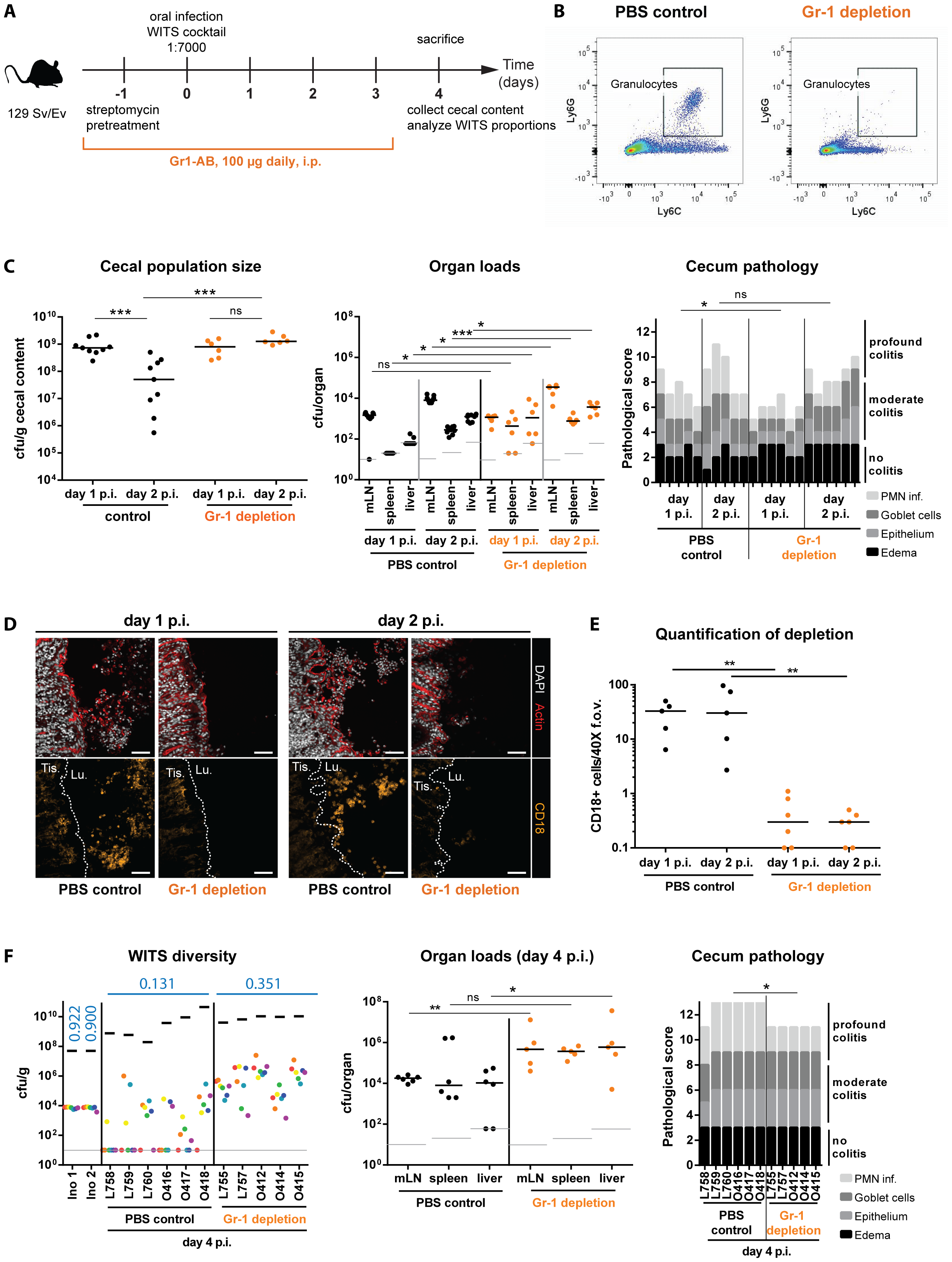 Depletion of Gr1<sup>+</sup>- cells reduces WITS diversity loss and prevents the cecal population crash between day 1 and day 2 p.i.