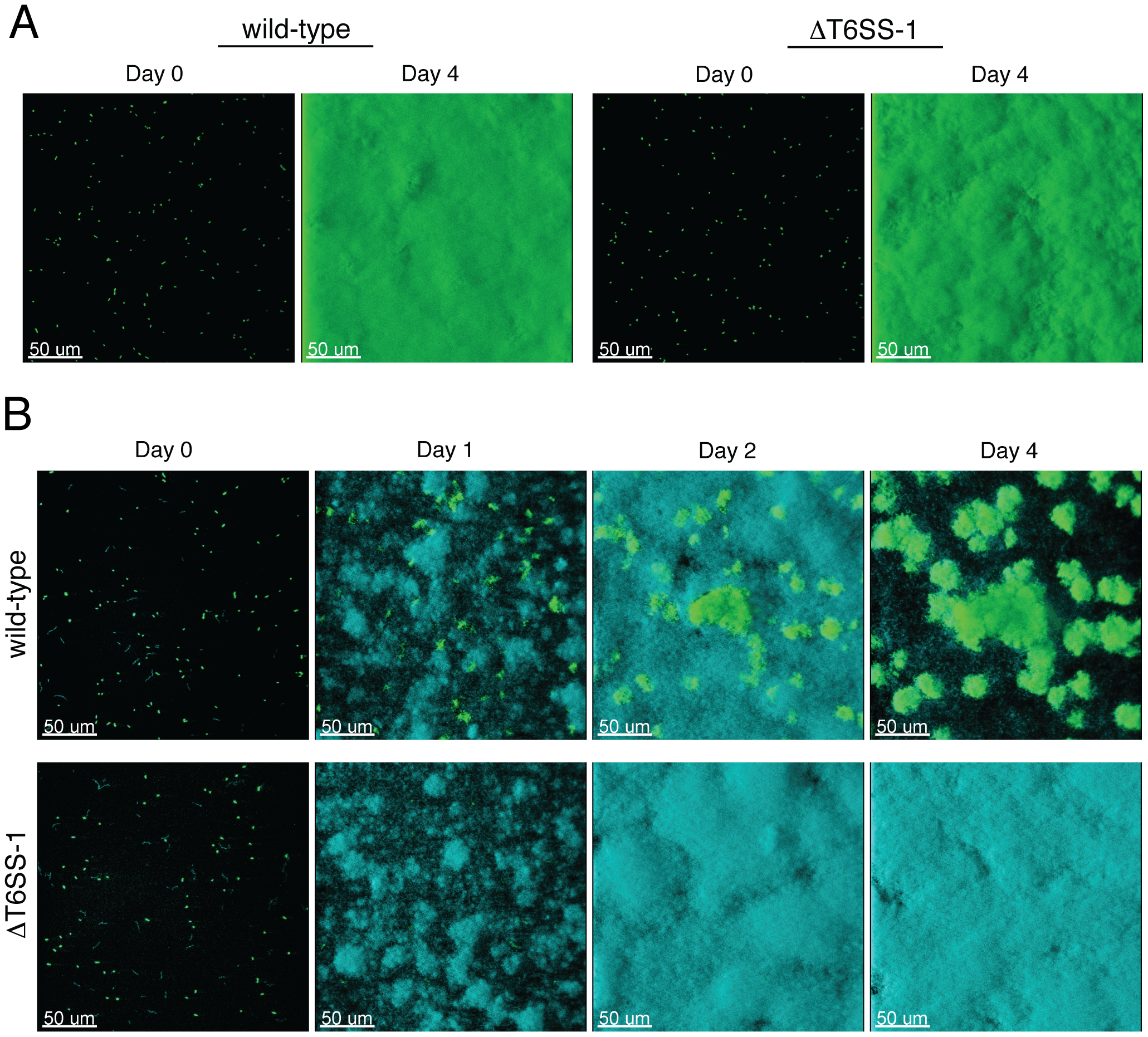 T6SS-1 is required for <i>B. thai</i> to persist in mixed biofilms with <i>P. putida</i>.