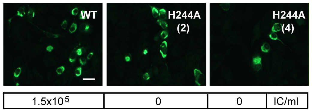DENV E H244A mutation inhibits virus infection.