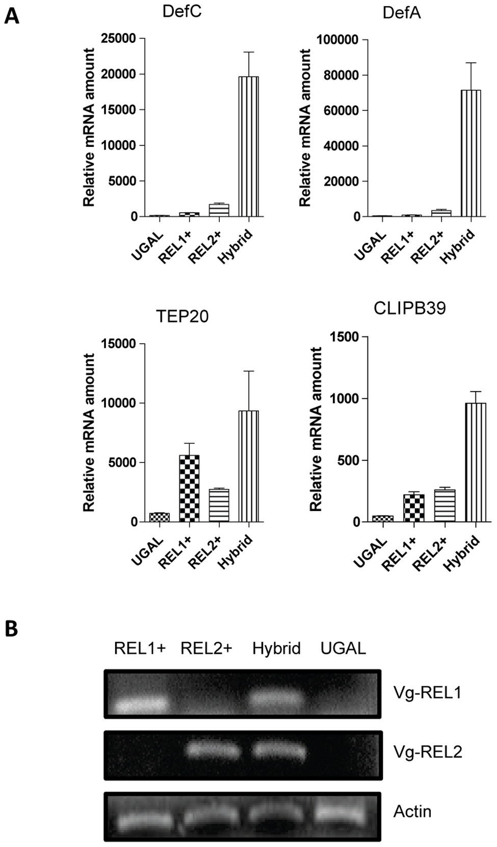 Synergistic action of REL1 and REL2 in activating immune genes.