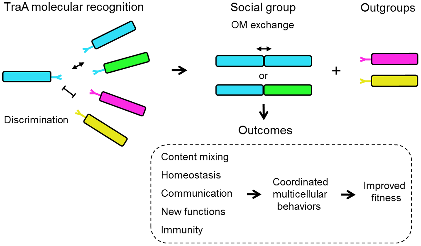 Schematic overview for how TraA-mediated cell-cell interactions can contribute toward myxobacterial social behaviors.