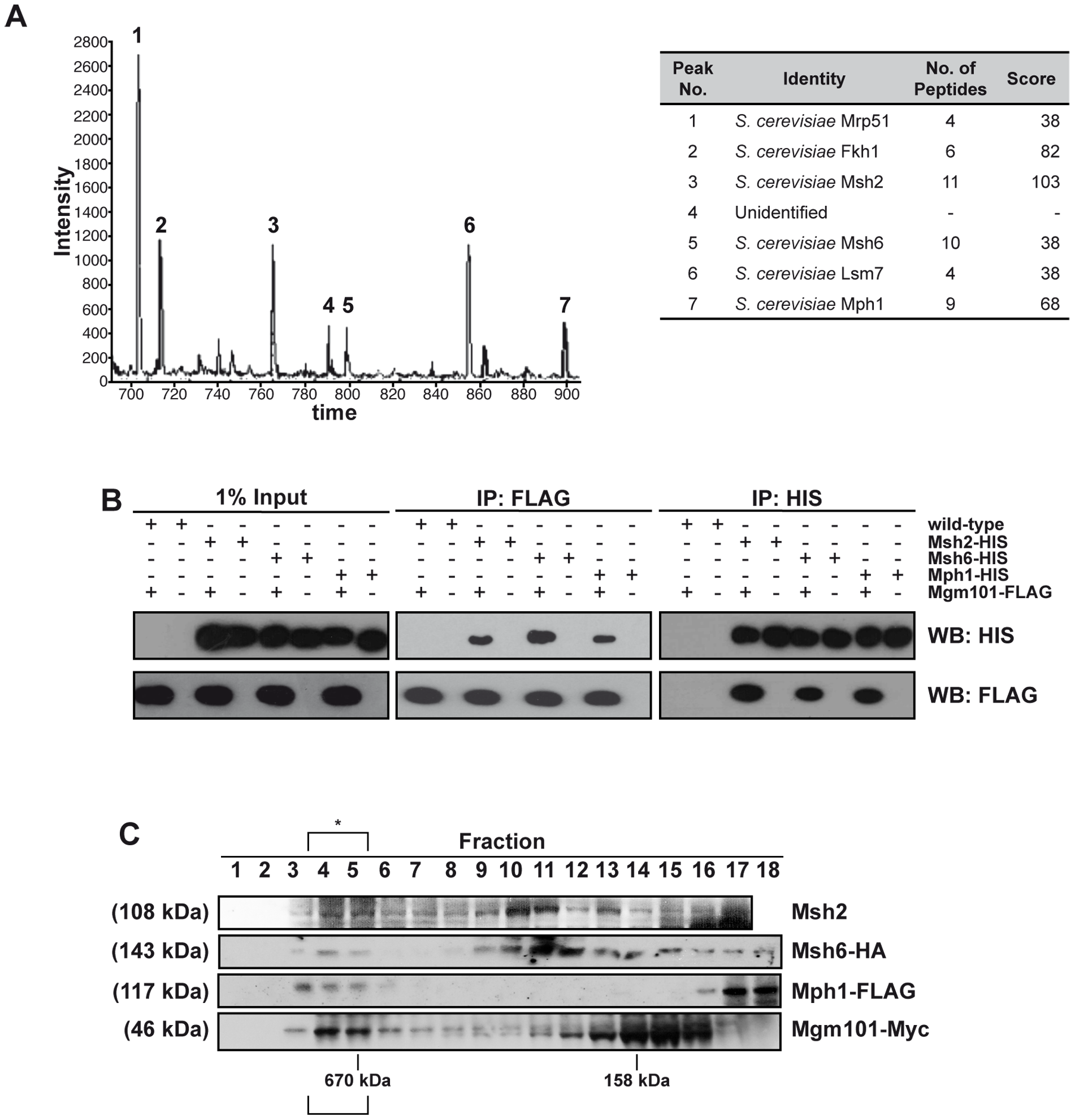 Mgm101 interacts with Mph1 and MutSα.