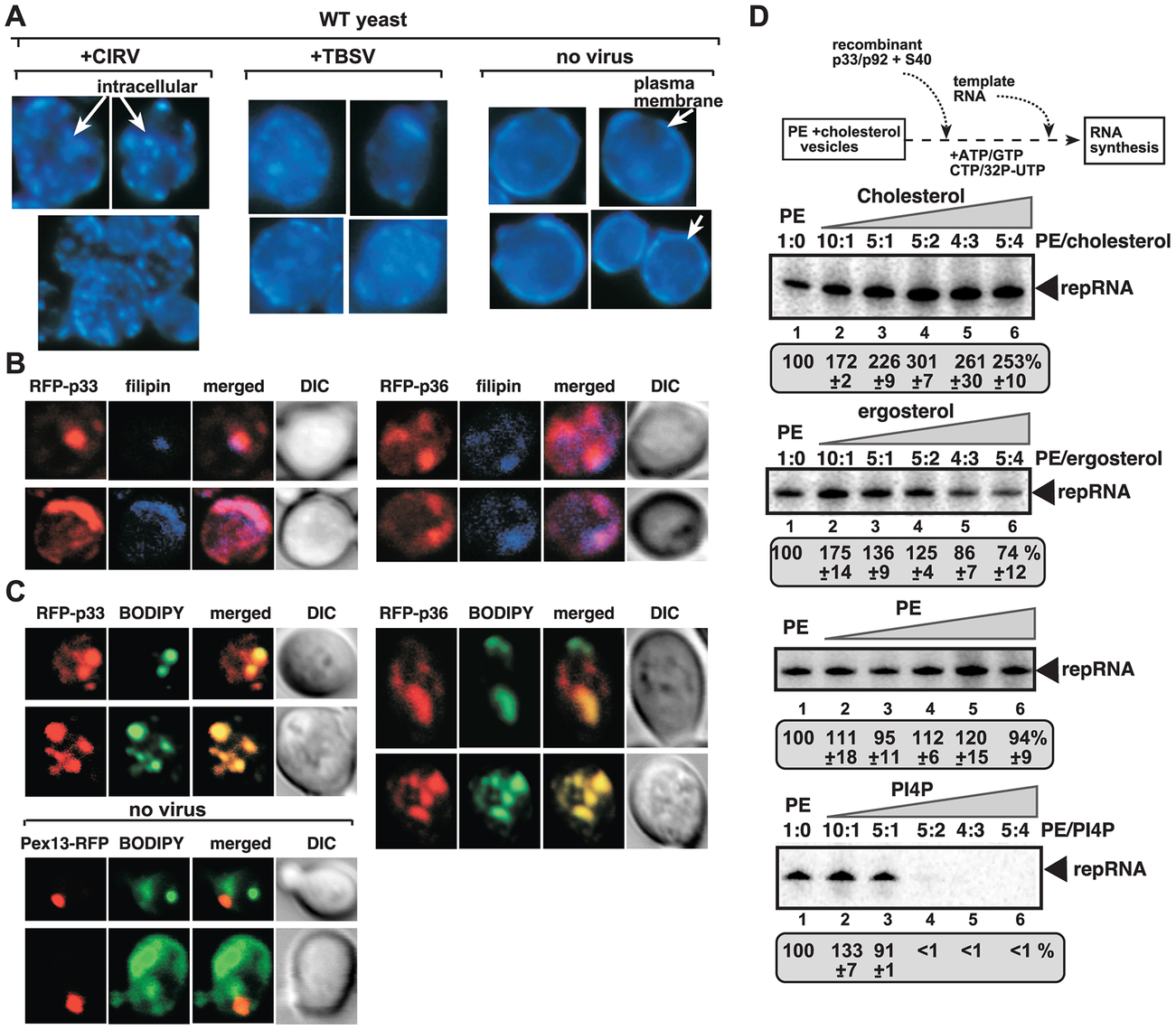 Enrichment of sterols at the sites of tombusvirus replication in yeast.
