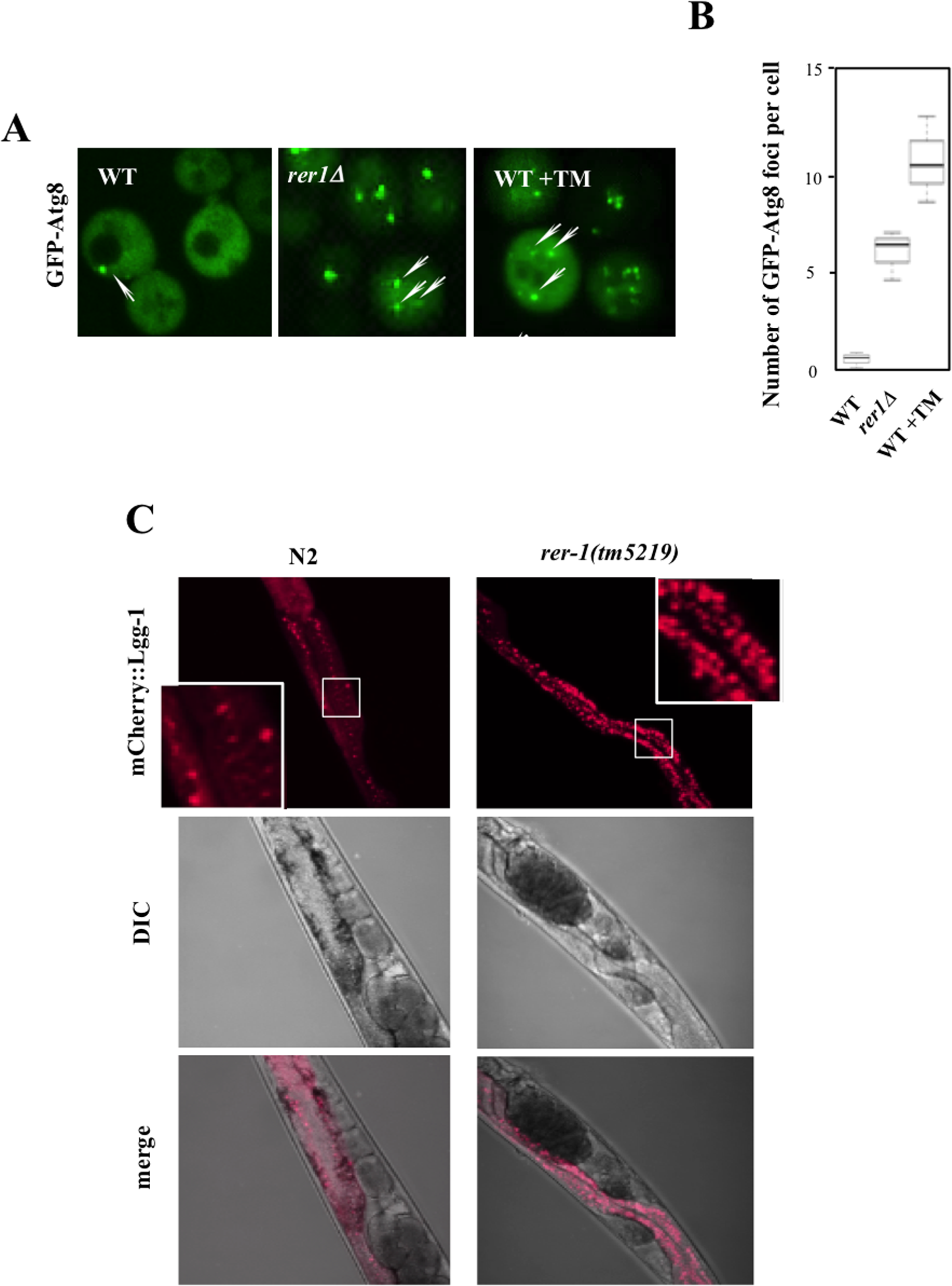Induction of autophagy in yeast and worm <i>rer1</i> mutants.