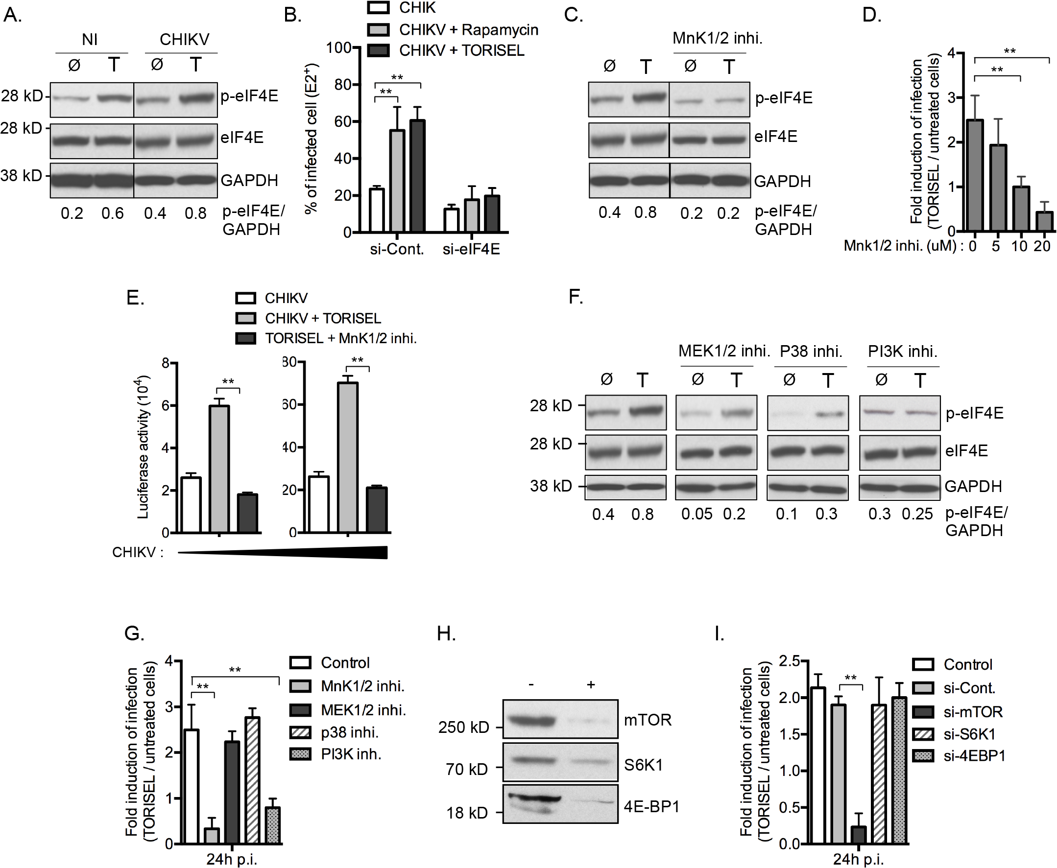 Inhibition of mTORC1 favors viral protein translation by activation of an MnK/p-eIF4E pathway.