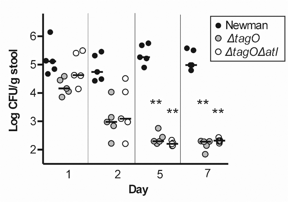 Both Newman Δ<i>tagO</i> and Newman Δ<i>atl</i> Δ<i>tagO</i> fail to persistently colonize the mouse GI tract.