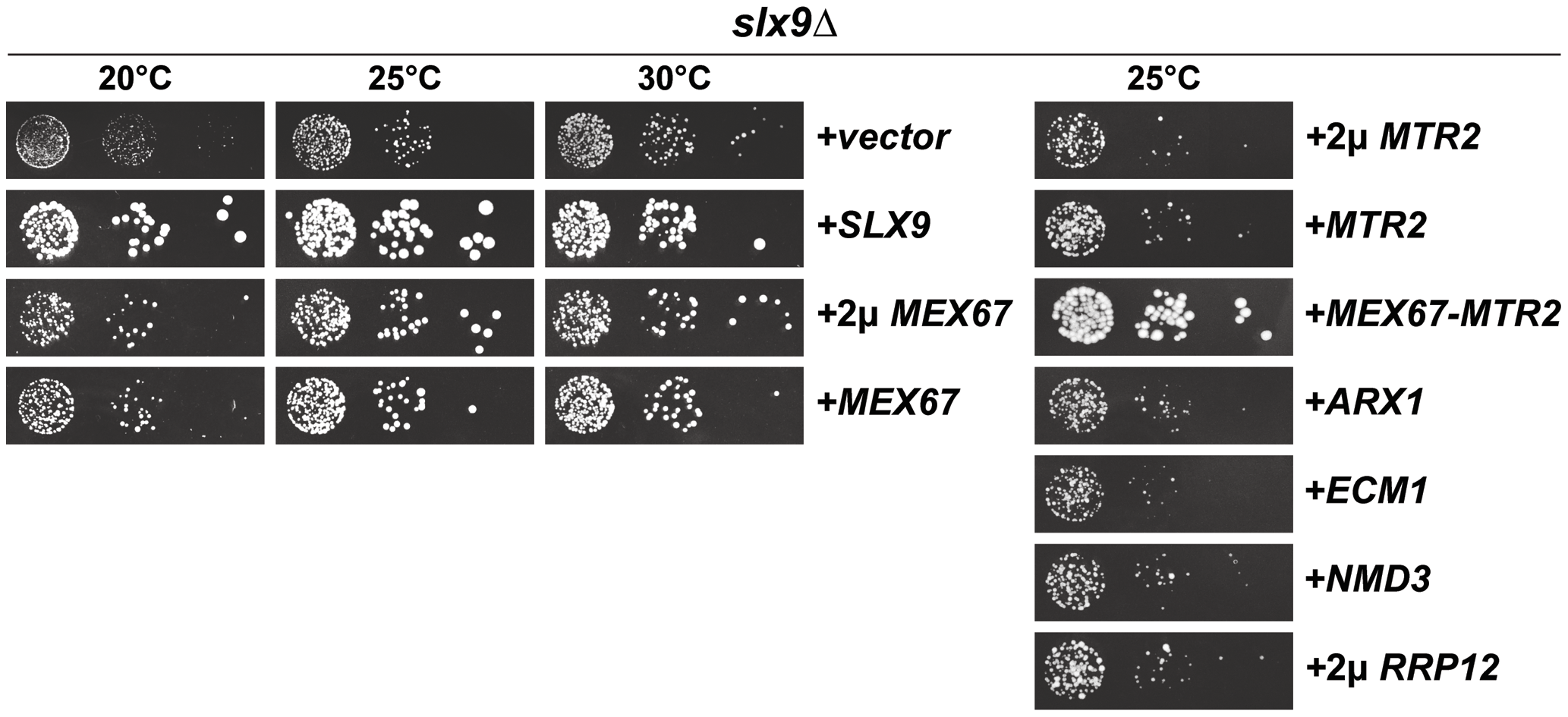 Over-expression of Mex67-Mtr2 rescues impaired growth of the <i>slx9</i>Δ mutant.