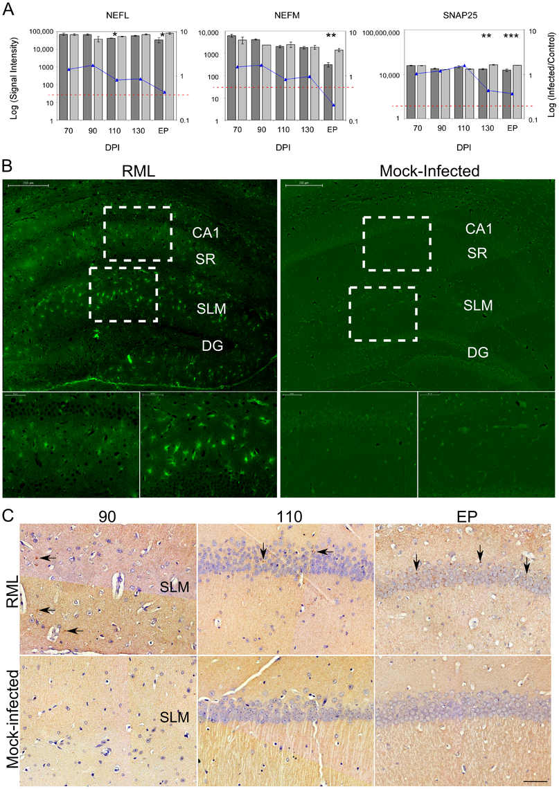 The overall neuronal architecture of the CA1 hippocampal region and the localization of PrP<sup>Res</sup> deposits during prion disease.