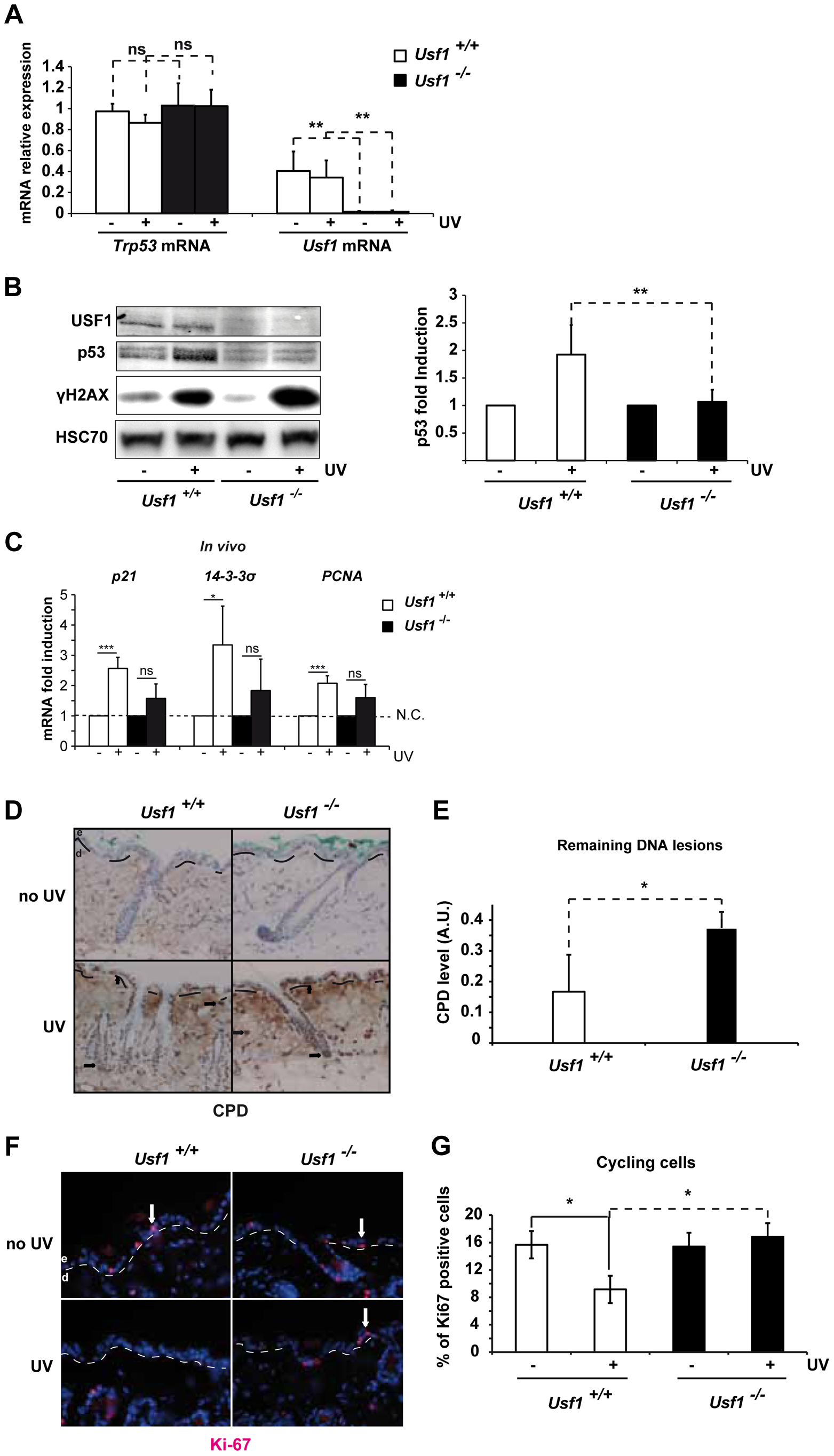 <i>Usf1</i> KO mice present defective induction of p53 protein.
