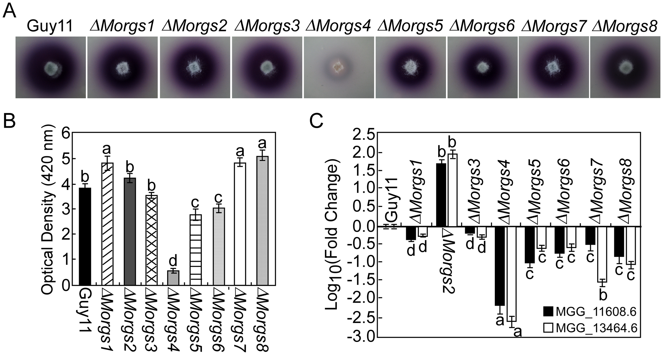 MoRgs4 has a role in the regulation of extracellular laccase activities.