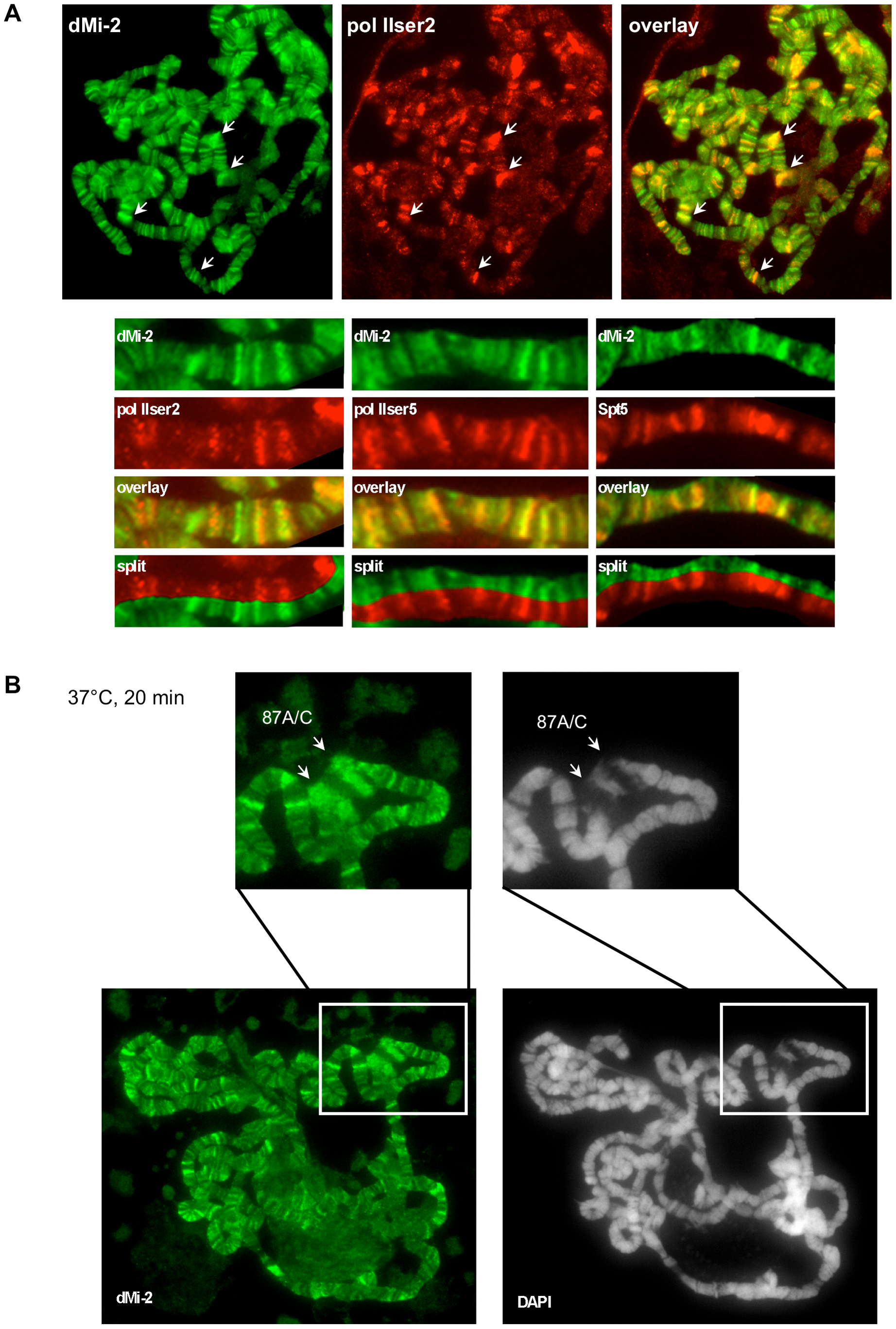 dMi-2 is recruited to HS genes.