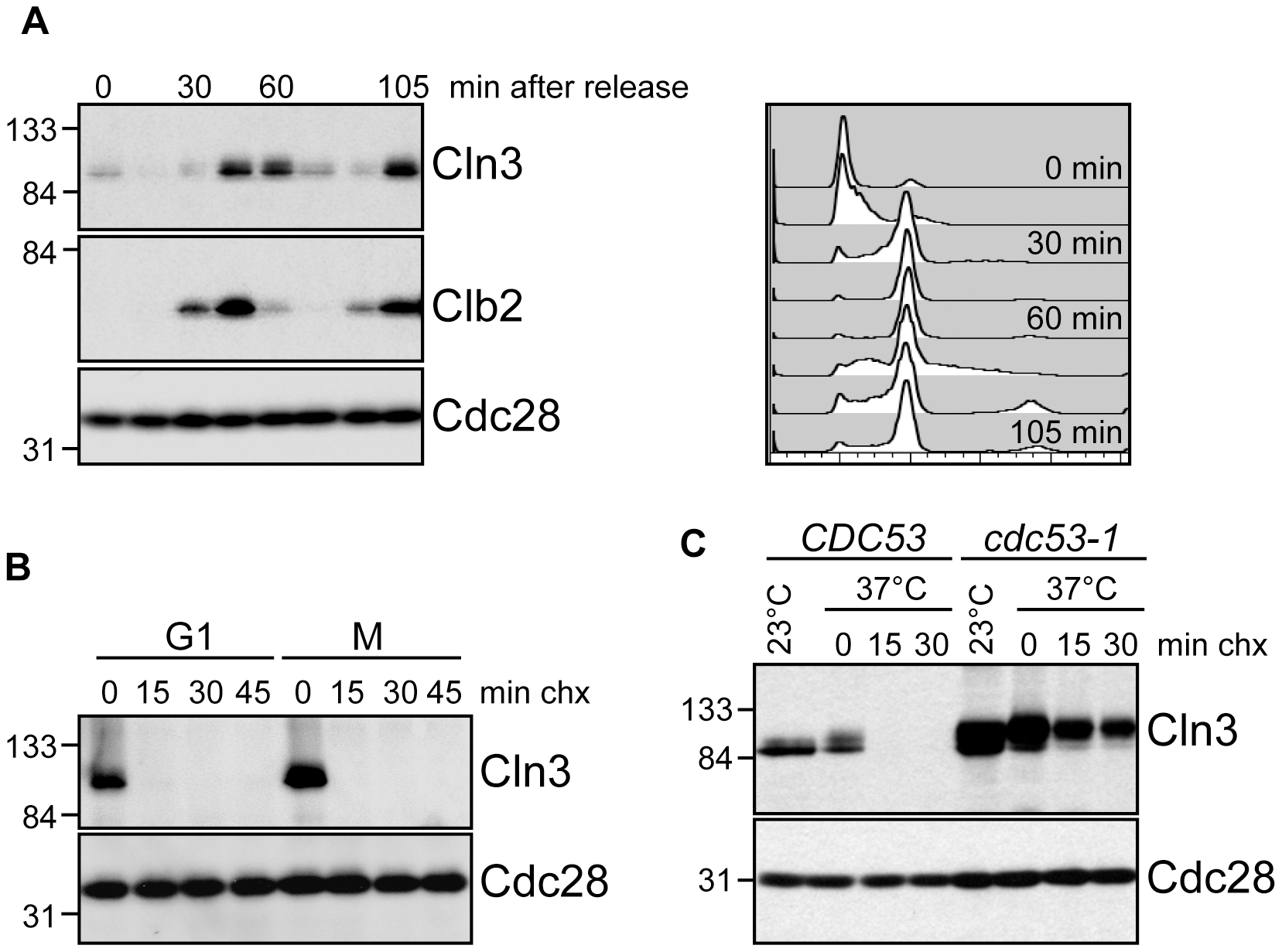 Cell cycle regulation of Cln3.